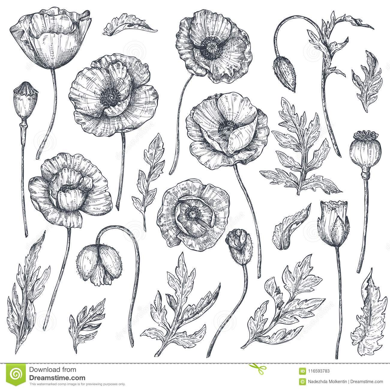 Vector Collection Of Hand Drawn Poppy Flowers Stock Vector