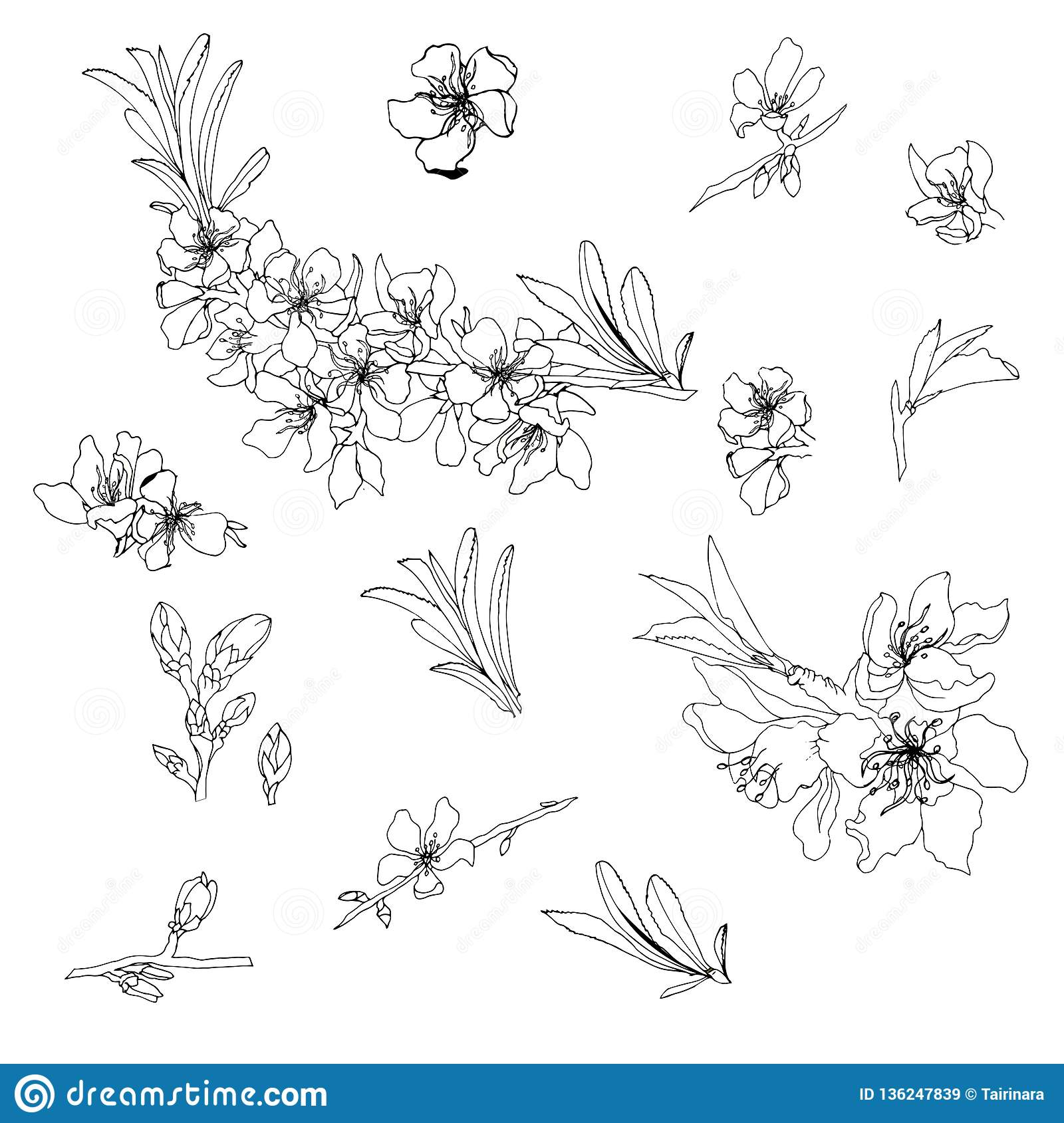 Vector Contour Of Flowers And Almond Branches. Outline