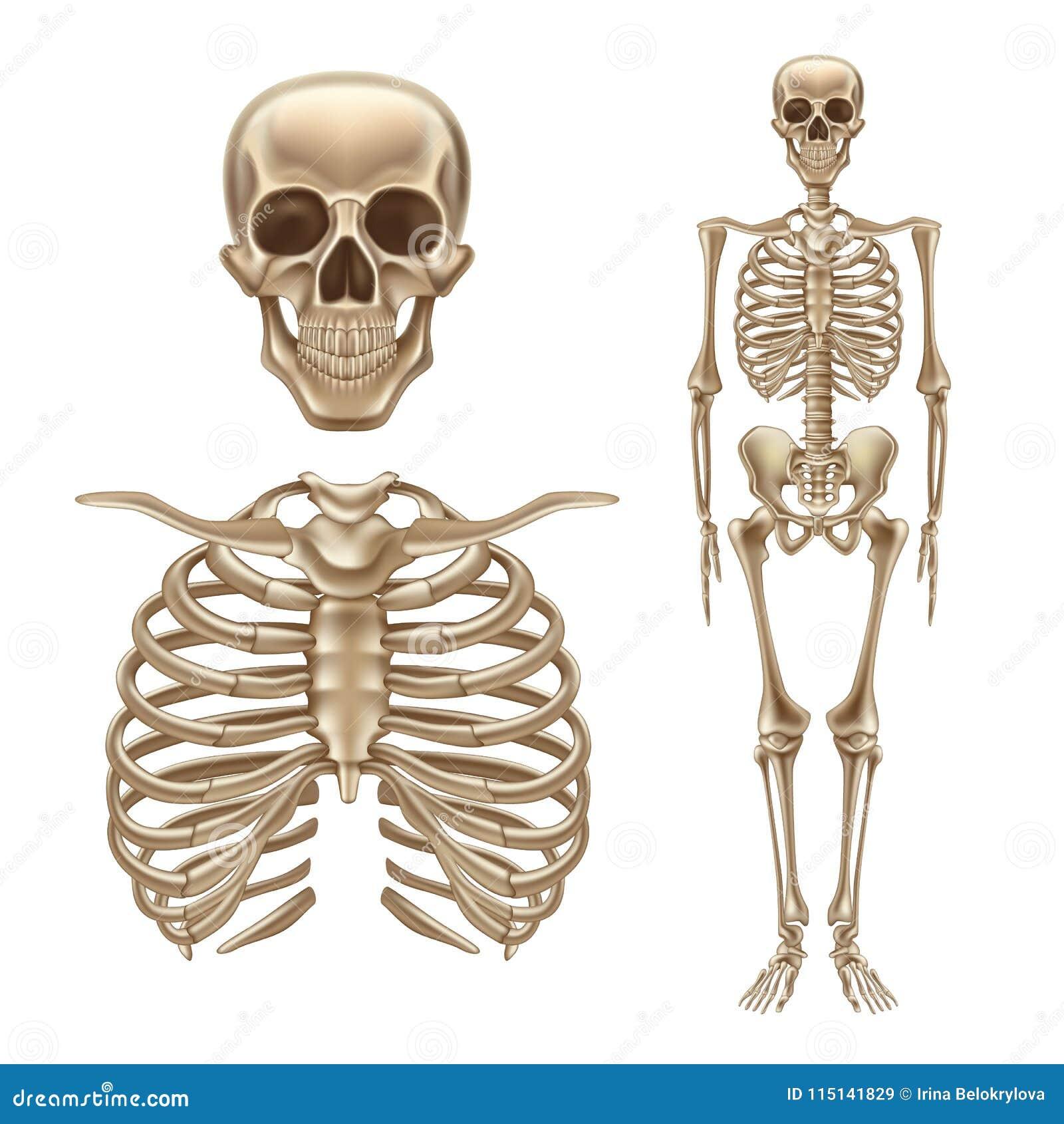 Vector 3d Human Skeleton, Bones Skull Spine Stock Vector