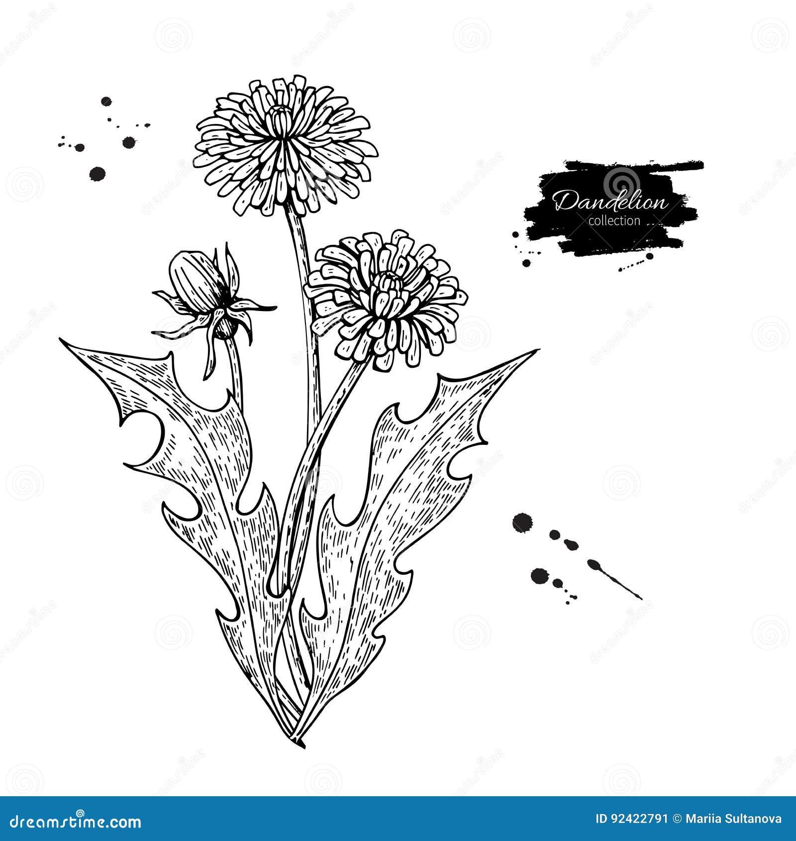 Vector de tekeningsreeks van de paardebloembloem Geïsoleerde wilde installatie en bladeren Gegraveerd kruiden