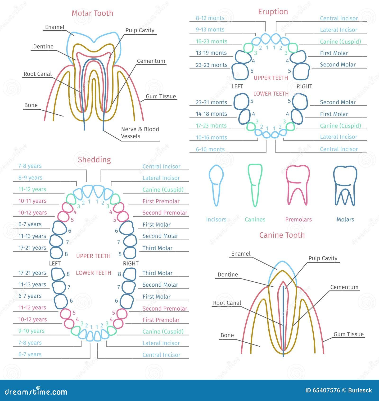 Vector Dental De La Anatomía Del Adulto Y Del Diente De Bebé ...