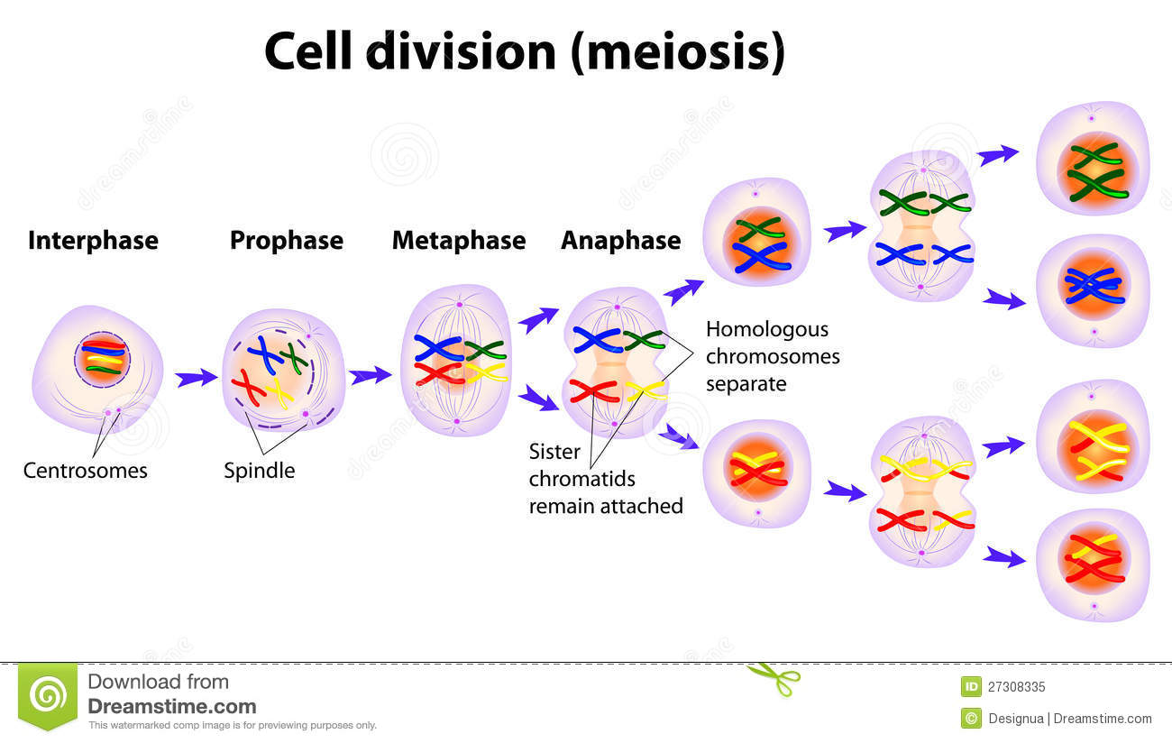 Vector diagram of the meiosis phases stock vector illustration of download vector diagram of the meiosis phases stock vector illustration of disease cytokinesis ccuart Choice Image