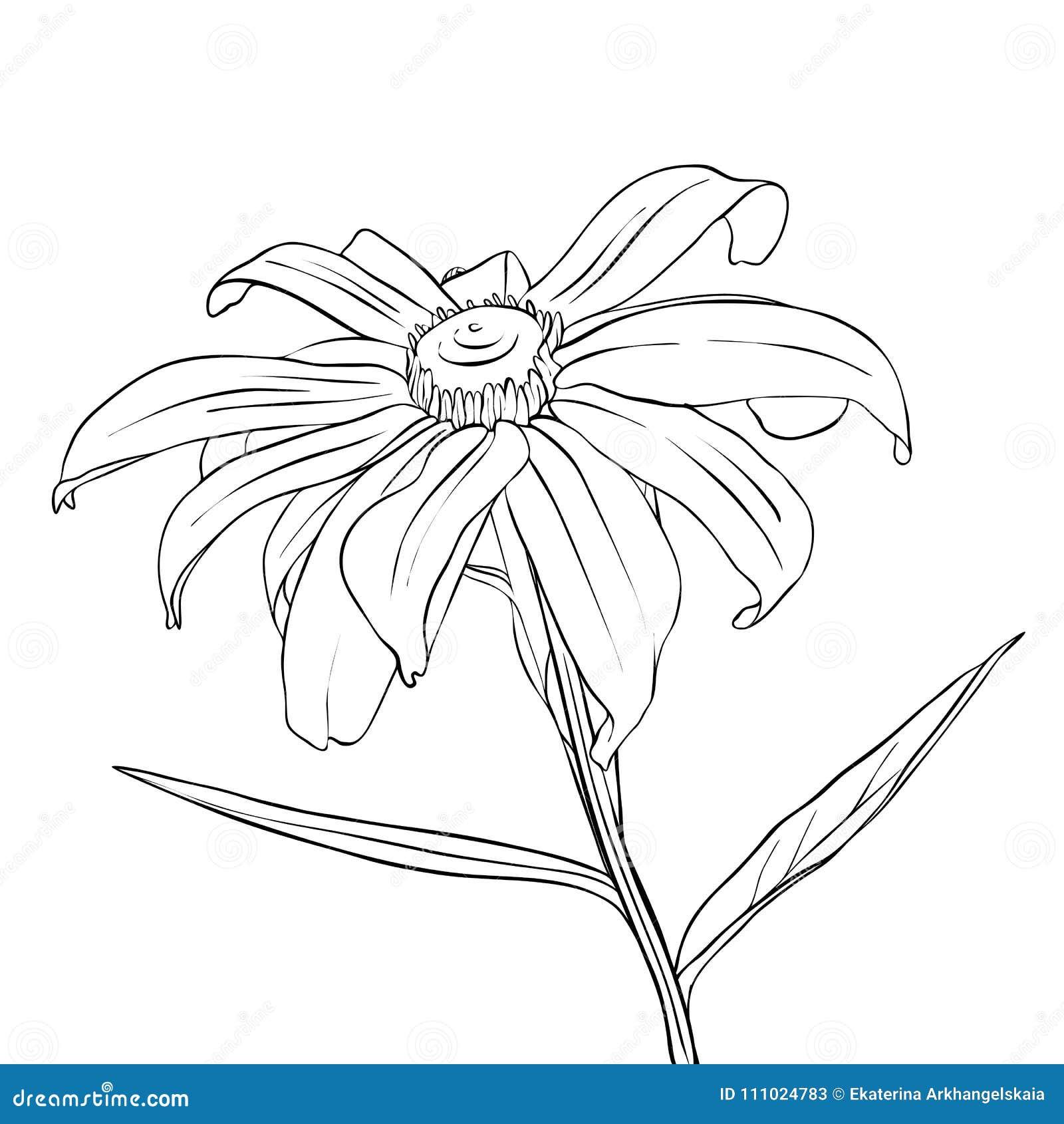 Vector drawing flower of daisy stock vector illustration of daisy vector drawing flower of daisy izmirmasajfo
