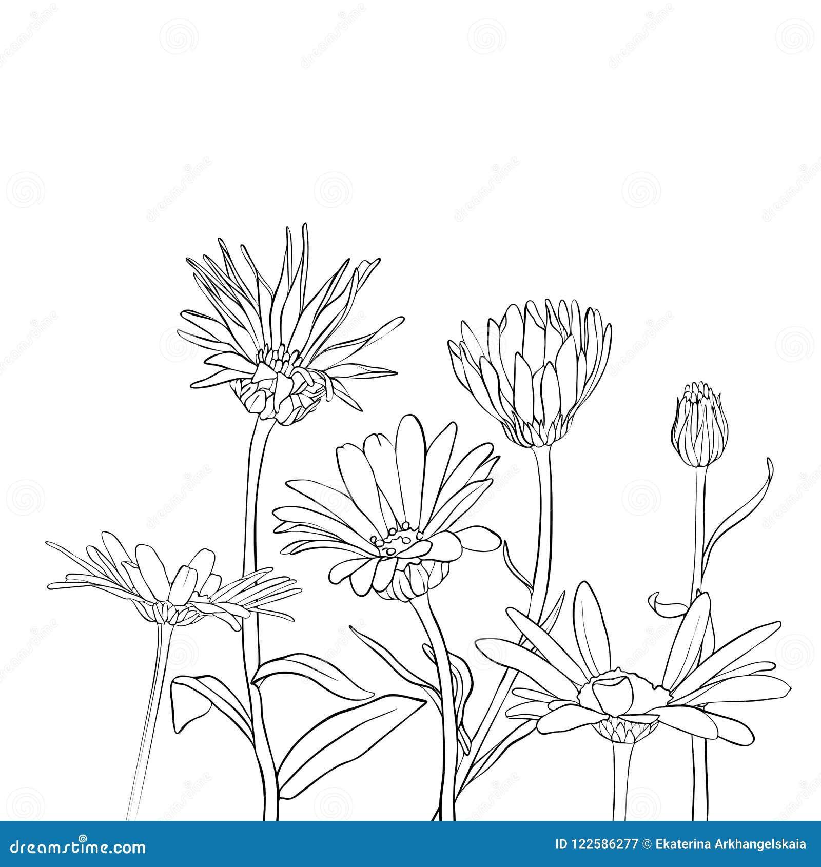 Vector Drawing Daisy Flowers Stock Vector Illustration Of Marigold