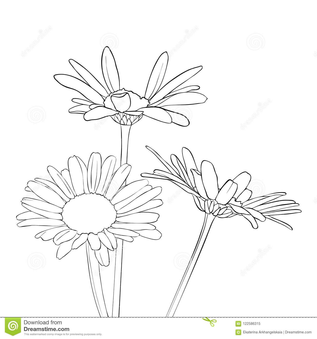 Vector Drawing Daisy Flowers Stock Vector Illustration Of Daisy