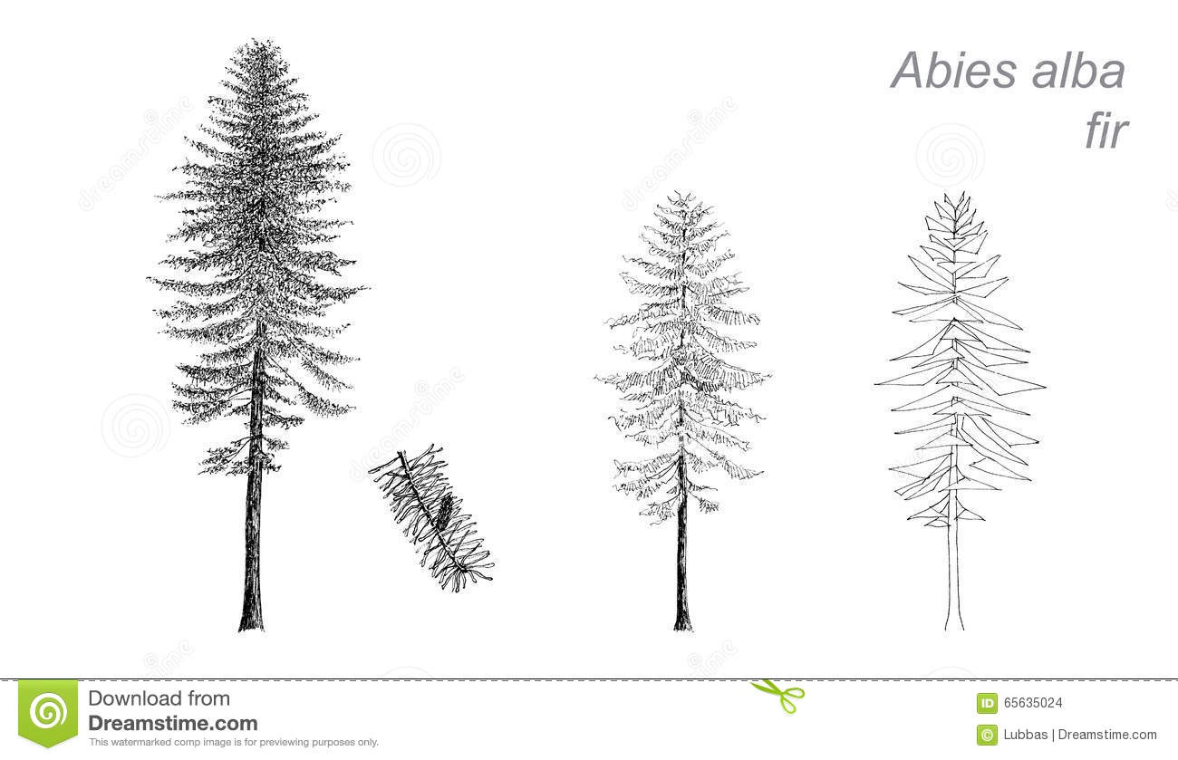 Vector Drawing Of Fir Abies Alba Stock Vector Illustration Of