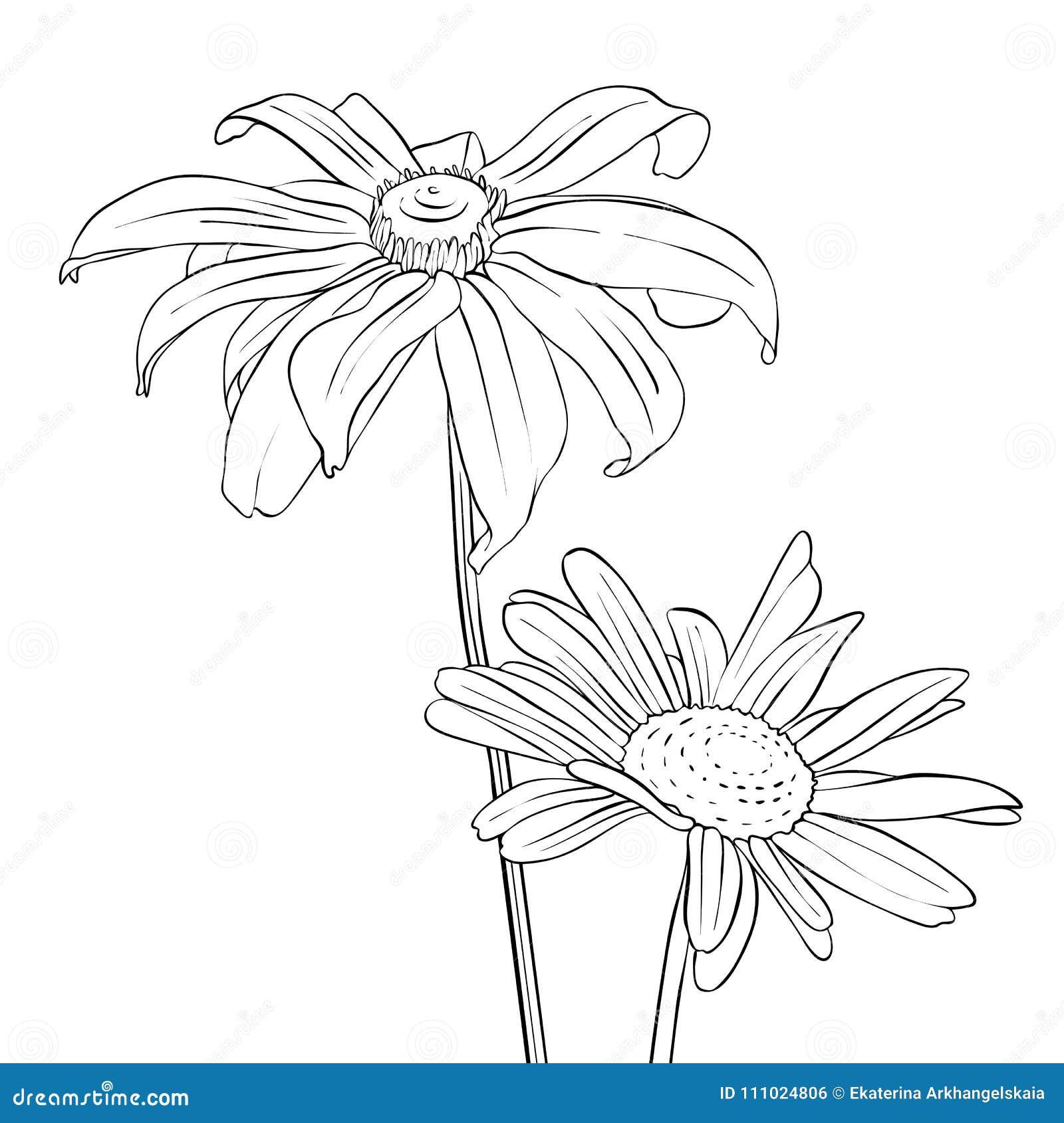 Vector Drawing Flowers Of Daisy Stock Vector Illustration Of Petal