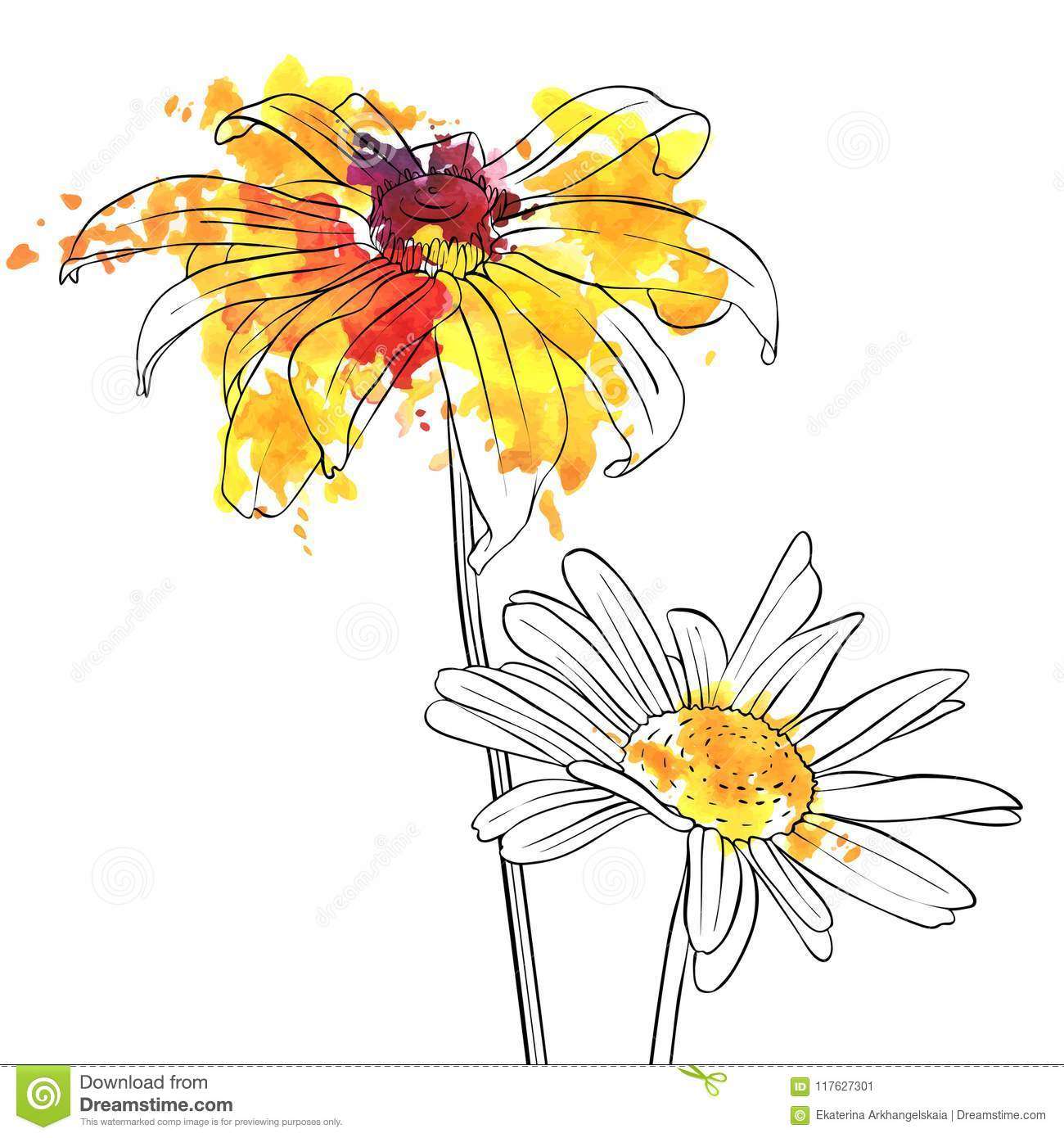 Vector Drawing Flowers Of Daisy Stock Vector Illustration Of