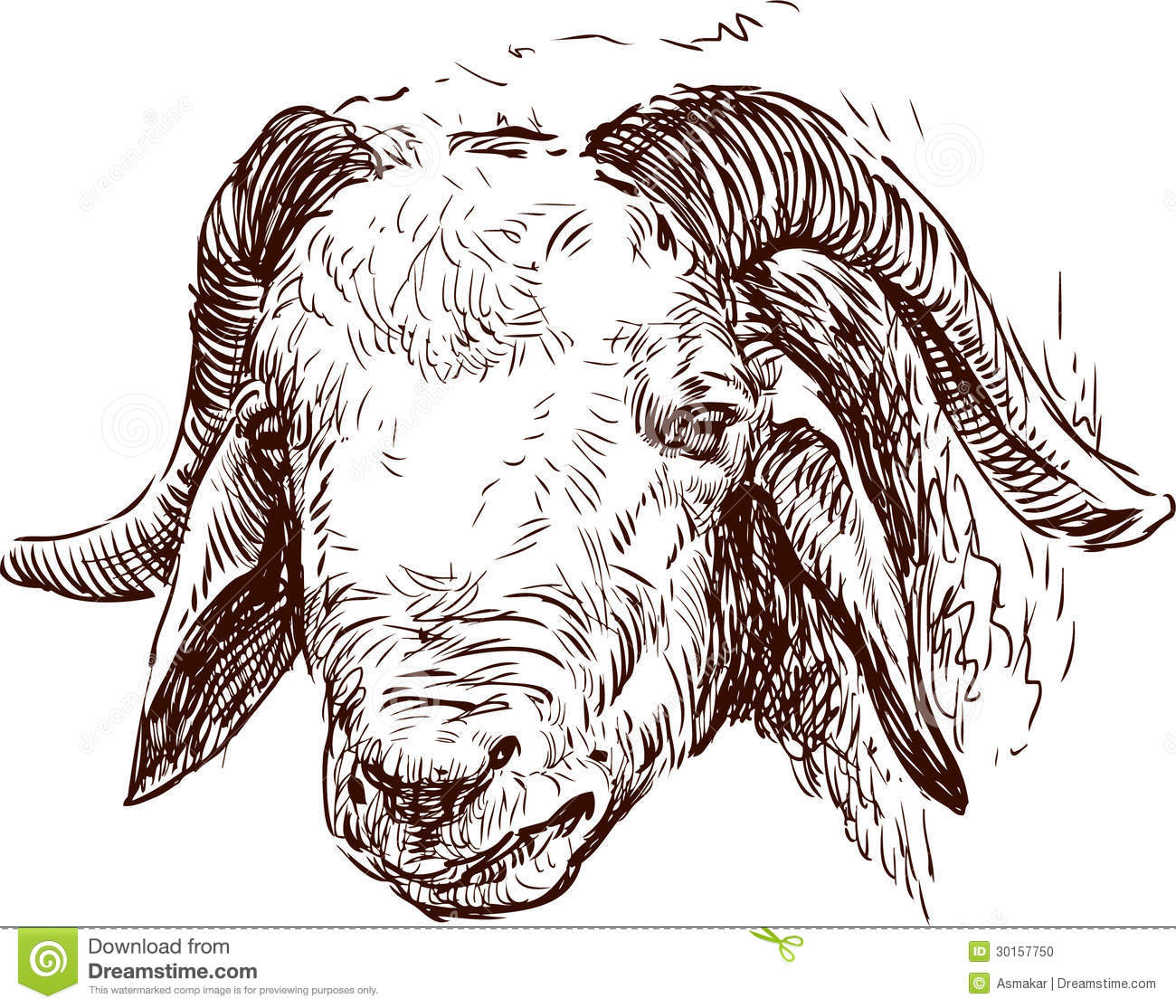Line Drawing Of Sheep Face : Head of a ram stock vector illustration rural contour