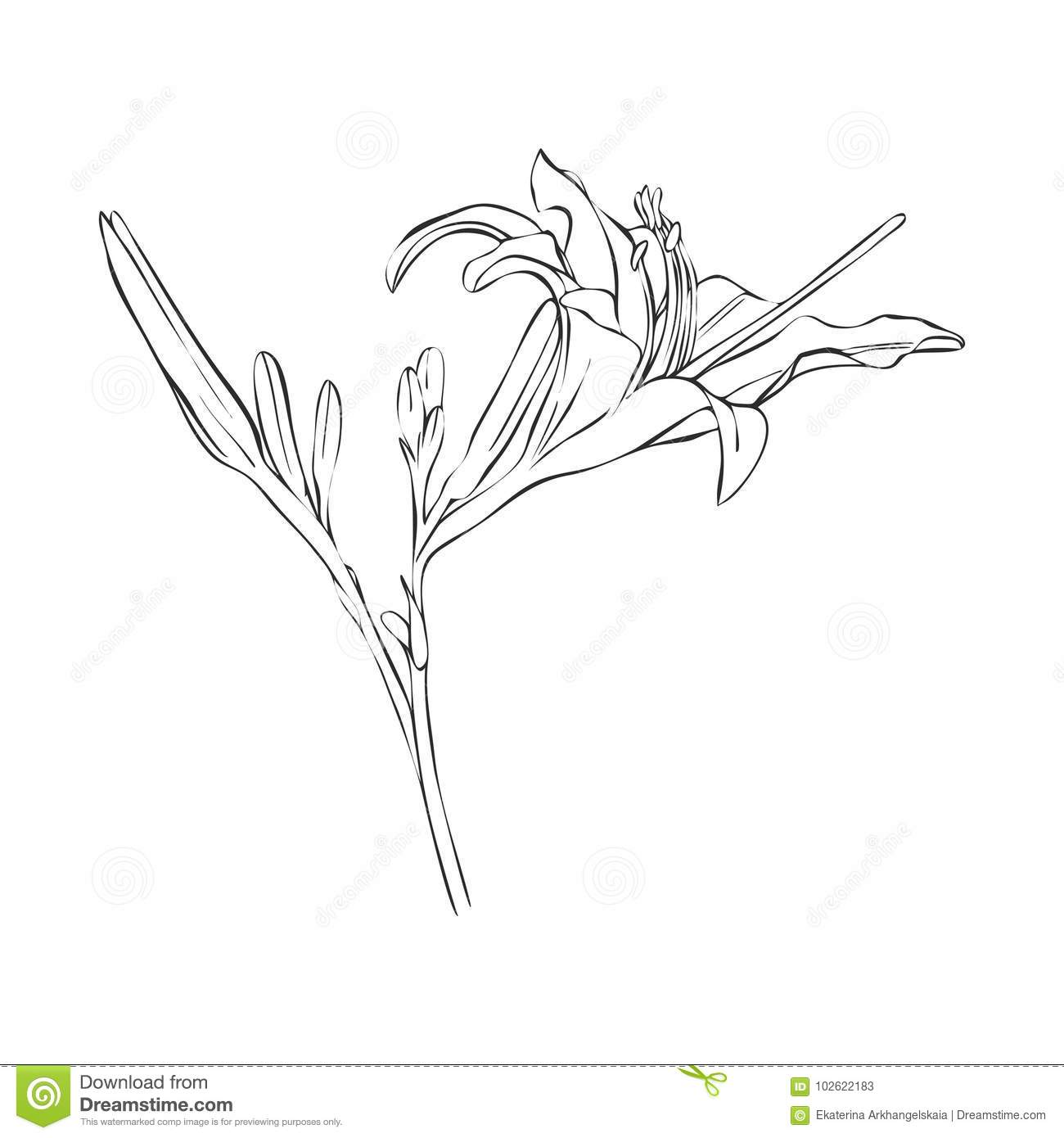 Vector Drawing Flower Of Lily Stock Vector Illustration Of Blossom