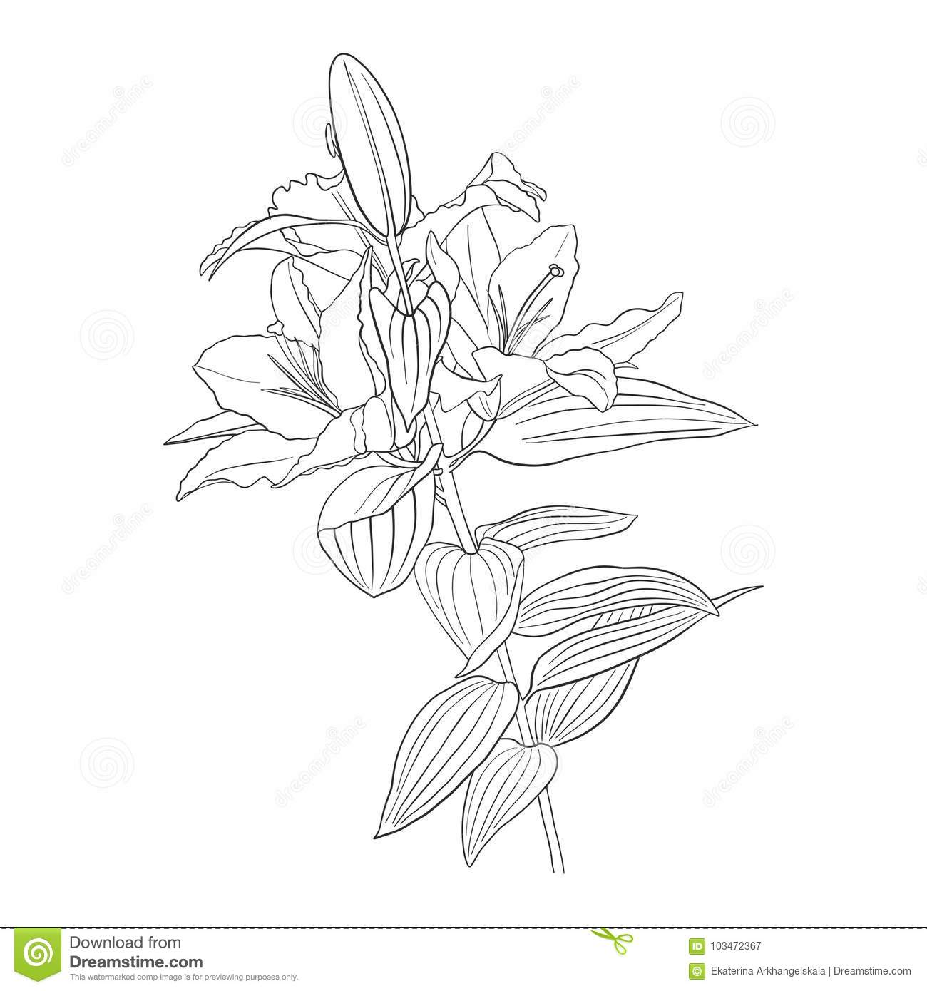 Vector Drawing Flower Of Lily Stock Vector Illustration Of Doodle