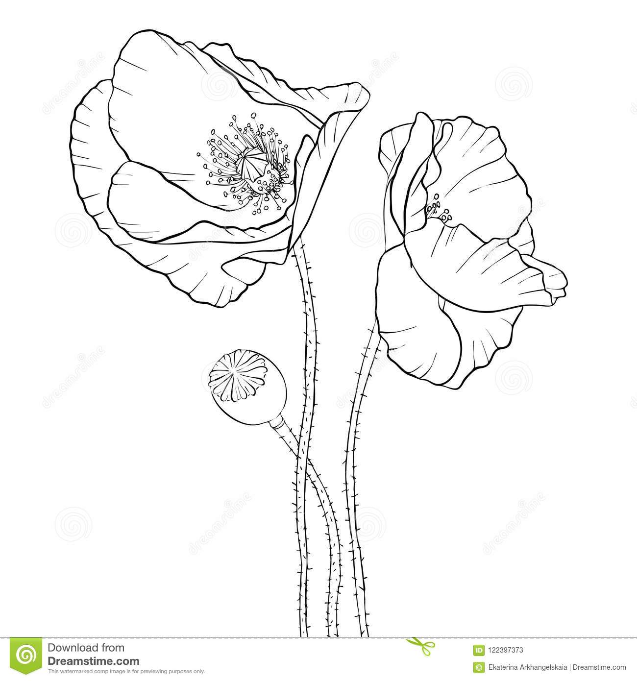 Vector Drawing Poppy Flowers Stock Vector Illustration Of Drawn