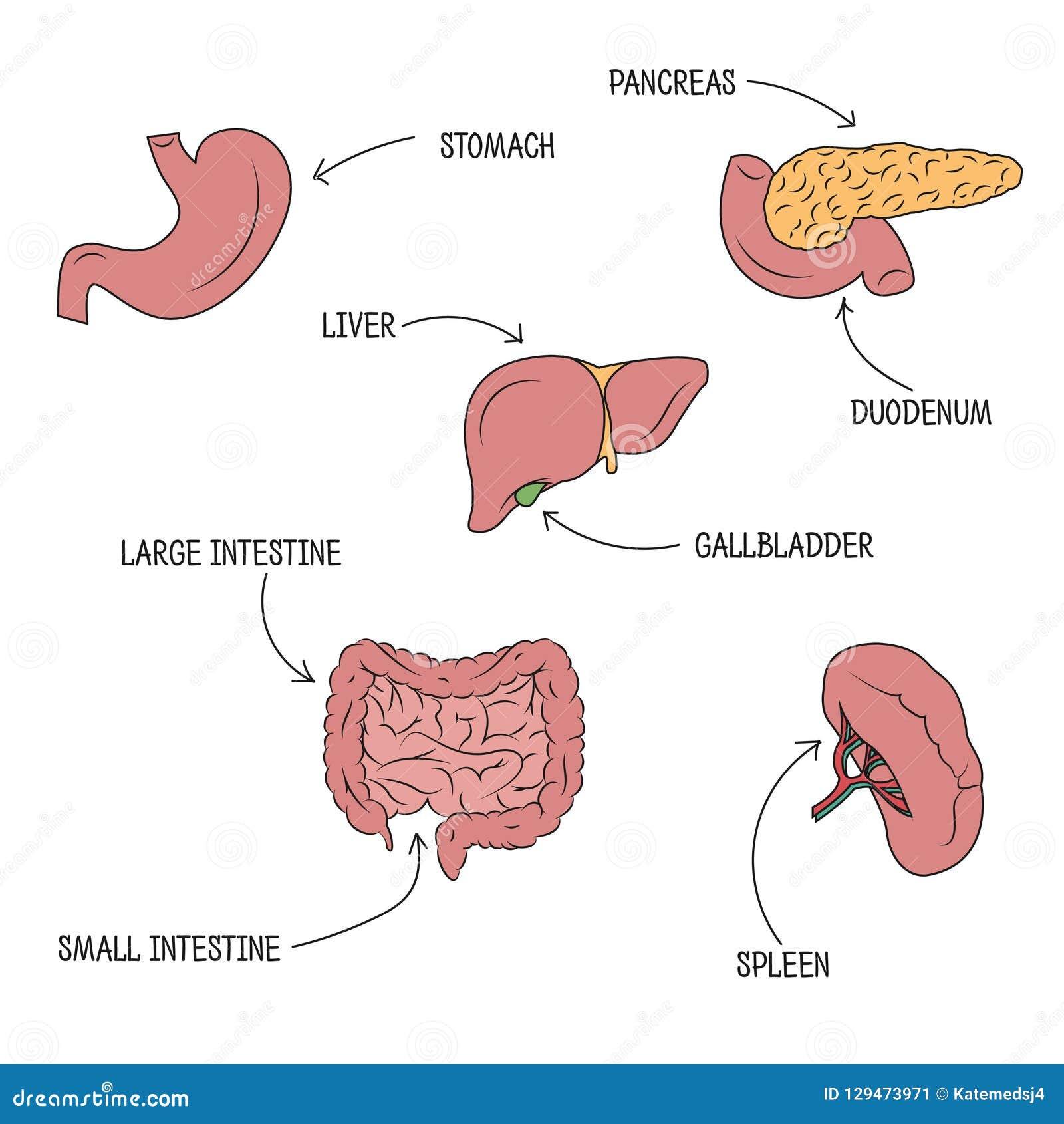 Illustration Of Human Digestive System Stock Vector Illustration