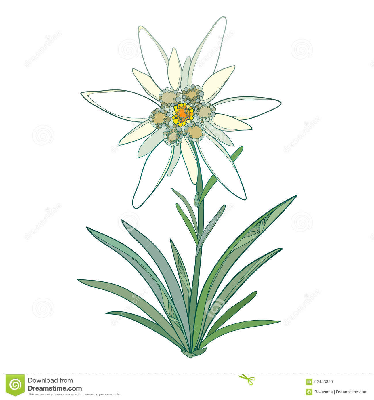 Vector Edelweiss Or Leontopodium Alpinum. Blooming Flower