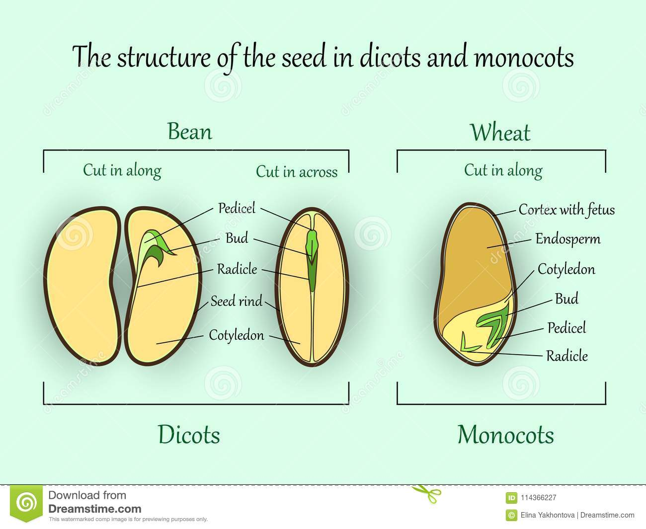 vector education botany banner, structure monocot and dicot plant seeds in  cut sections  agriculture biology science illustration