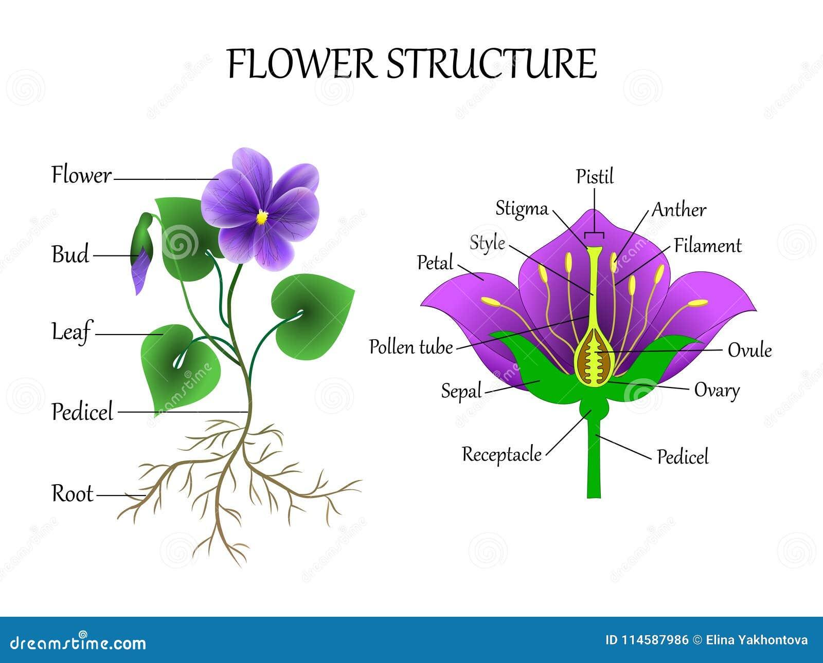 Vector El Diagrama De La Educación De La Botánica Y La