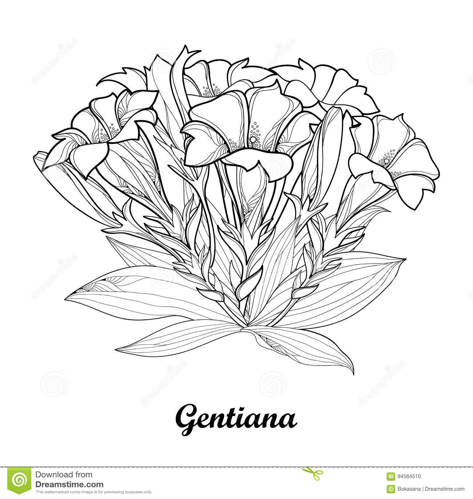 Vector El Ramo Con El Esquema Flor Gentiana O De La Genciana, Brote ...
