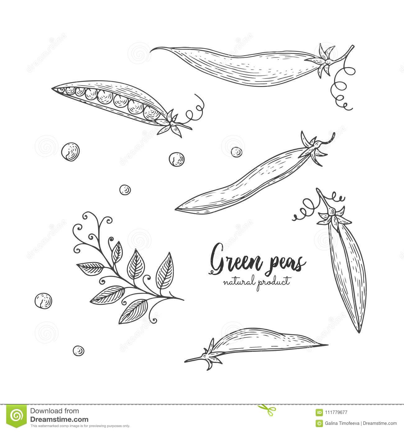 Vector engraved illustration of green peas. Eco organic food. Vegetarian food for design menu, recipes, wrapping paper