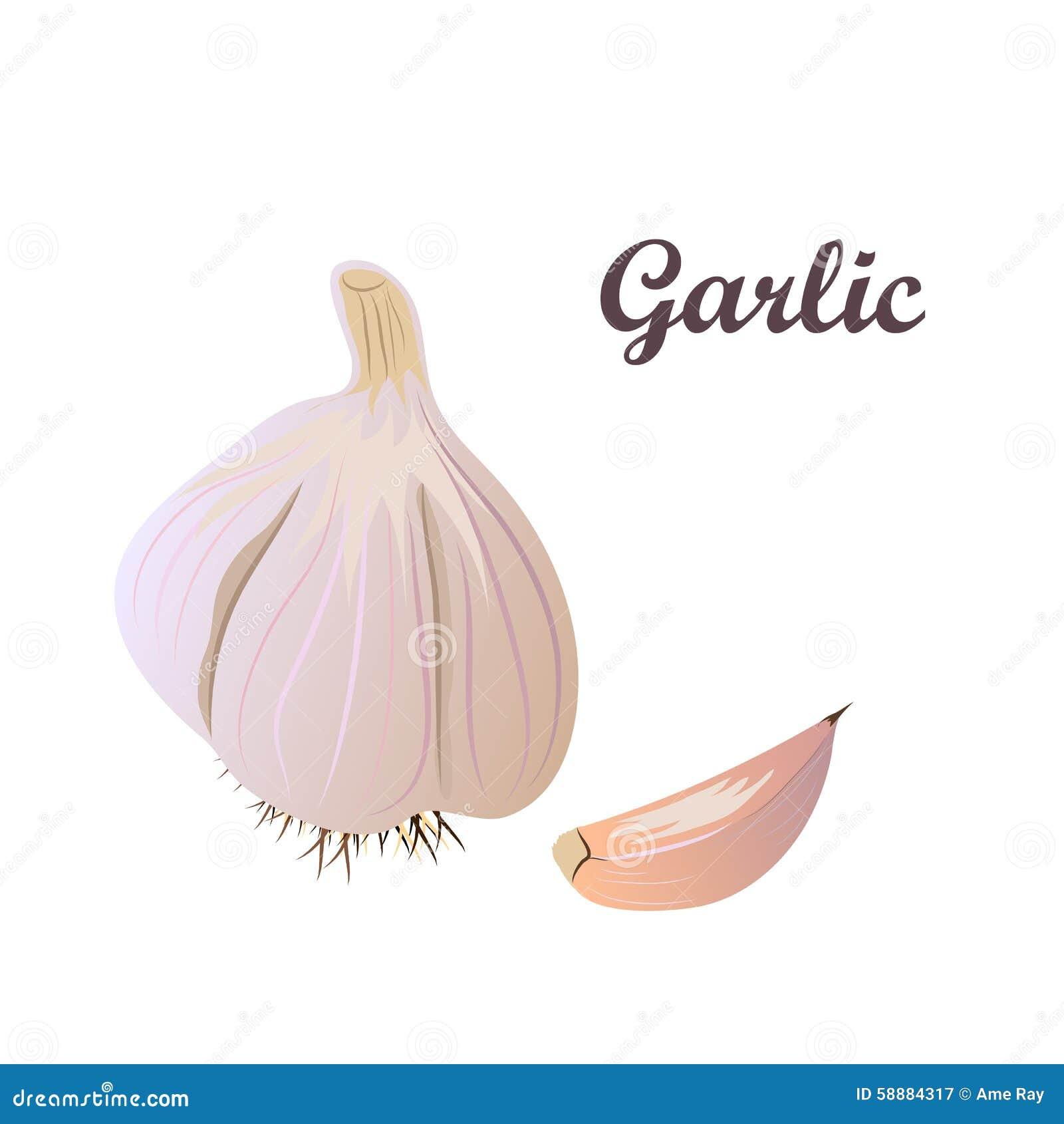 vector garlic stock vector image 58884317