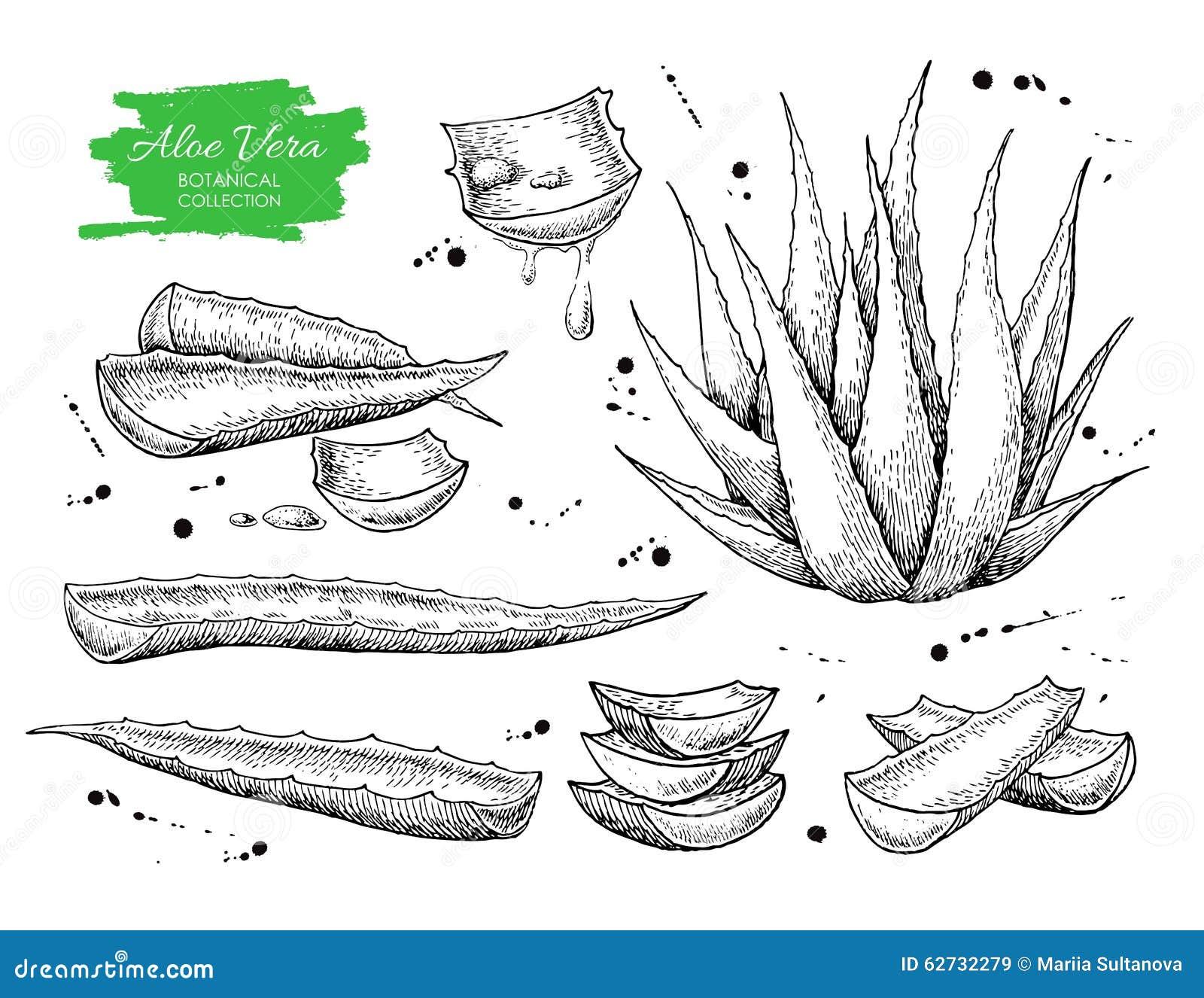 Vector hand drawn botanical Aloe Vera.
