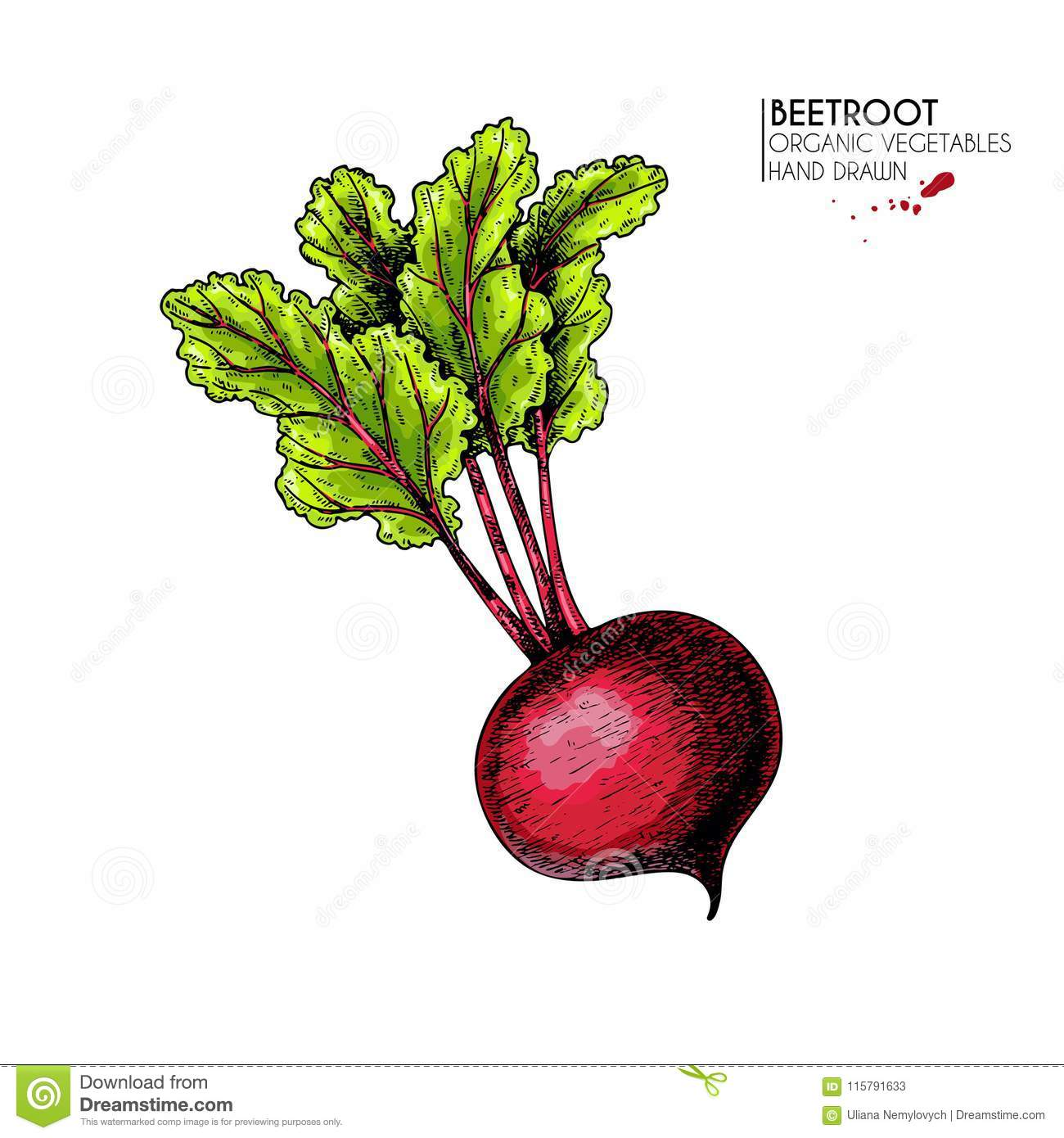 Vector hand drawn set of farm vegetables. Isolated beetroot with haulm. Engraved colored art. Organic sketched