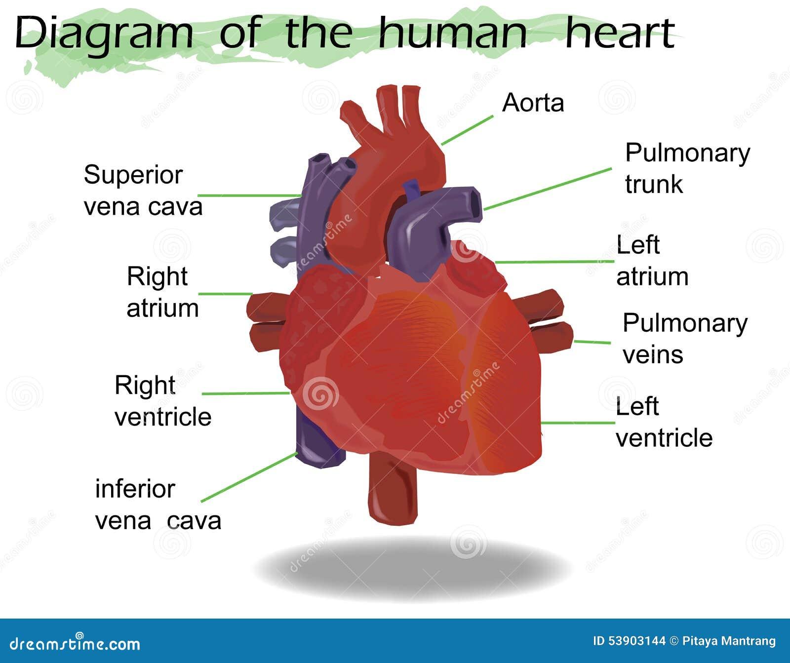 Diagram Of Human Heart Anatomy Cartoon Vector | CartoonDealer.com ...
