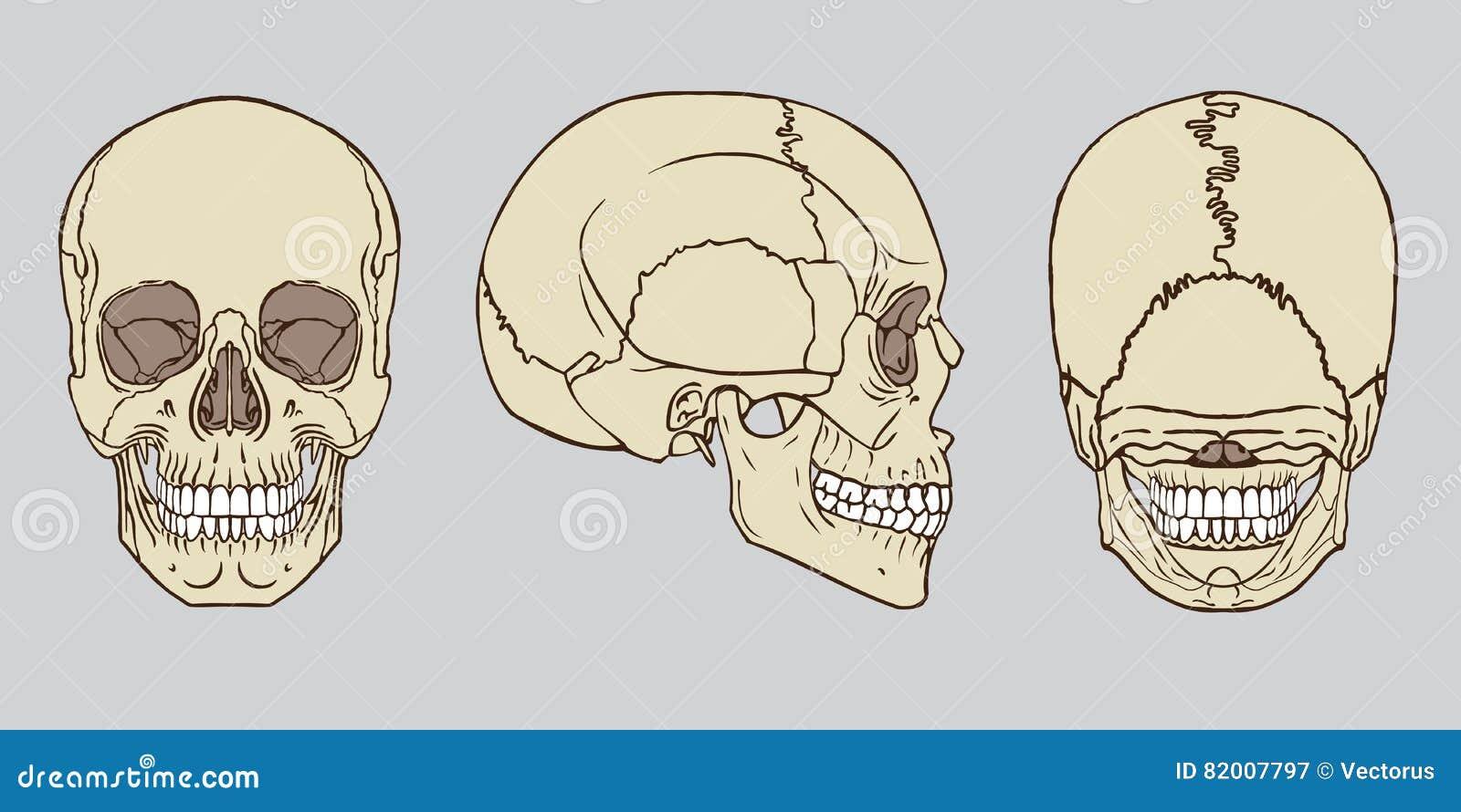 Vector Humano Del Paquete De La Anatomía Del Cráneo Ilustración del ...