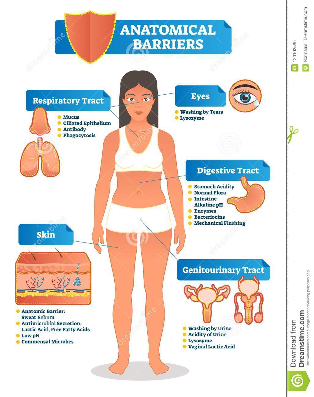 Vector Illustration With Anatomical Barriers Scheme Human Body With