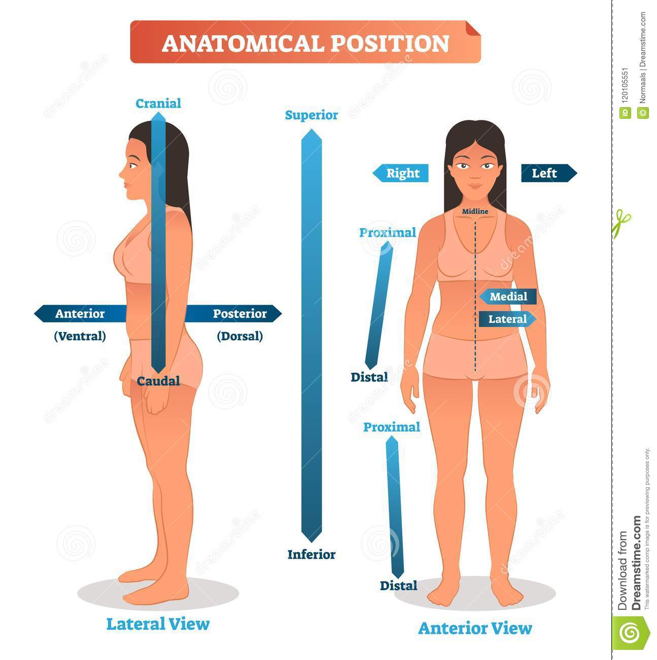 anatomical positions vector illustration scheme of superior