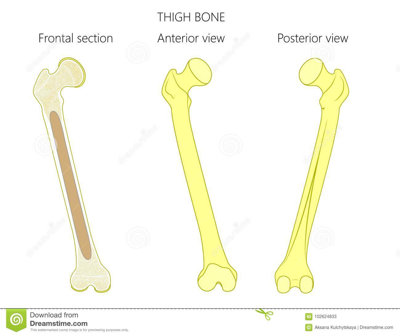 anatomy of a thigh bone  tubular bone and spongy bone structure  frontal  section, anterior and posterior view  for advertising and medical  publications