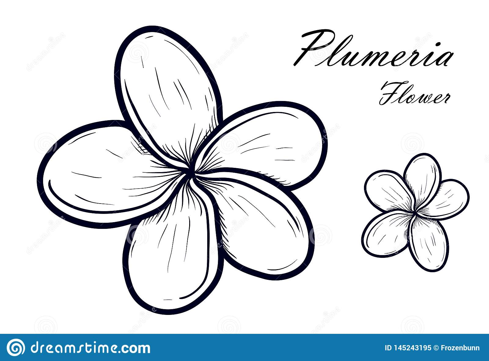 Vector Illustration Of Beautiful Plumeria Drawing Spring Flower Isolated On White Background Stock Vector Illustration Of Hawaii Hawaiian 145243195
