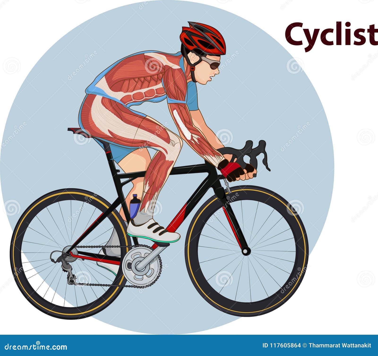 Vector Illustration Of Cyclist Muscle Anatomy Stock Illustration ...
