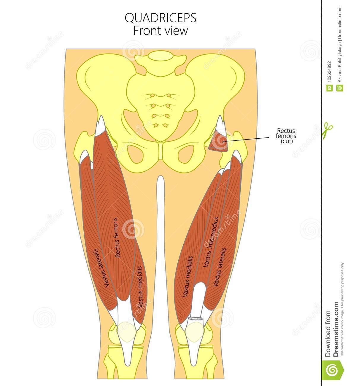 Anatomyquadriceps Stock Vector Illustration Of Patella 102624892
