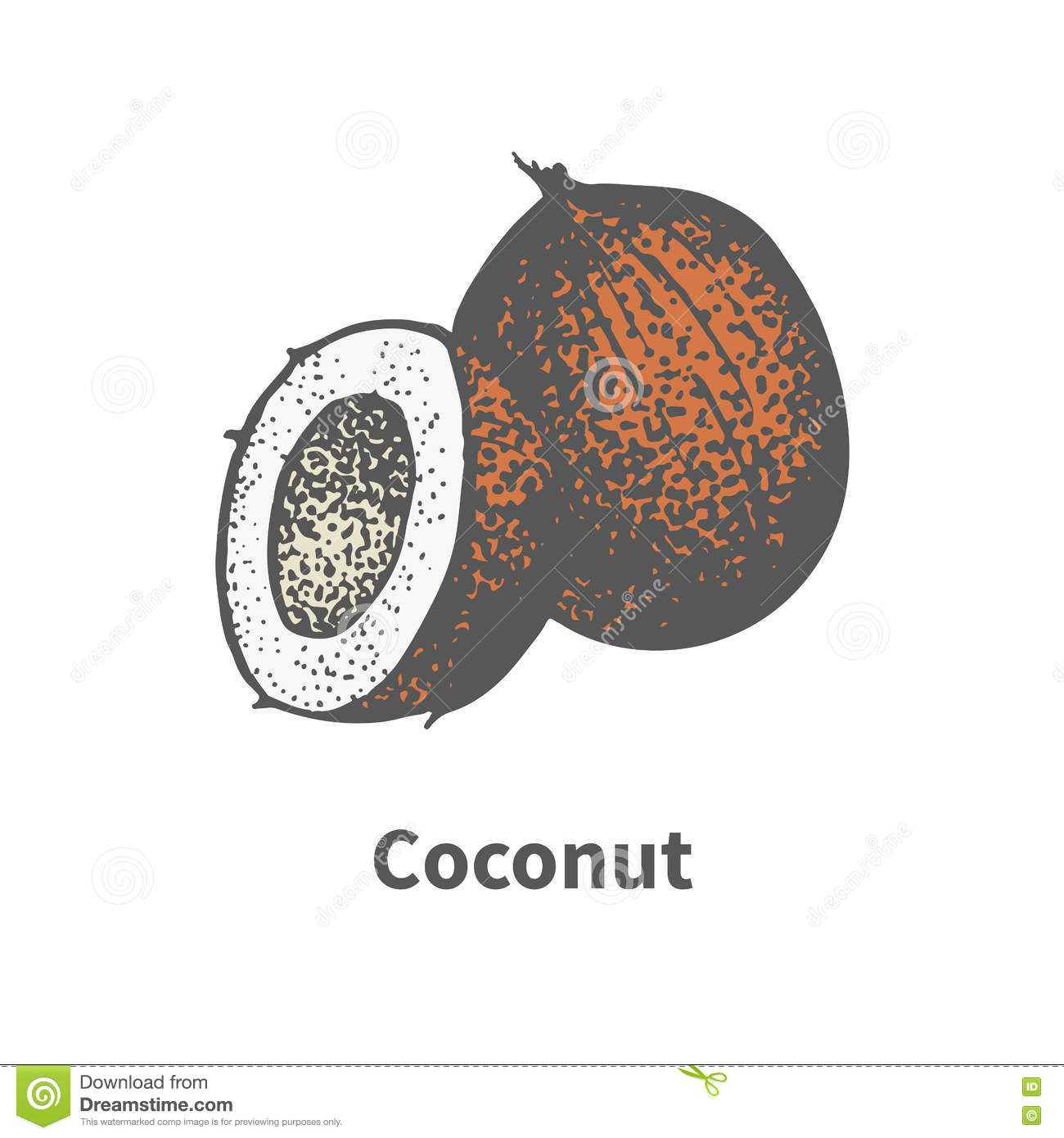 Vector illustration hand-drawn brown ripe coconut