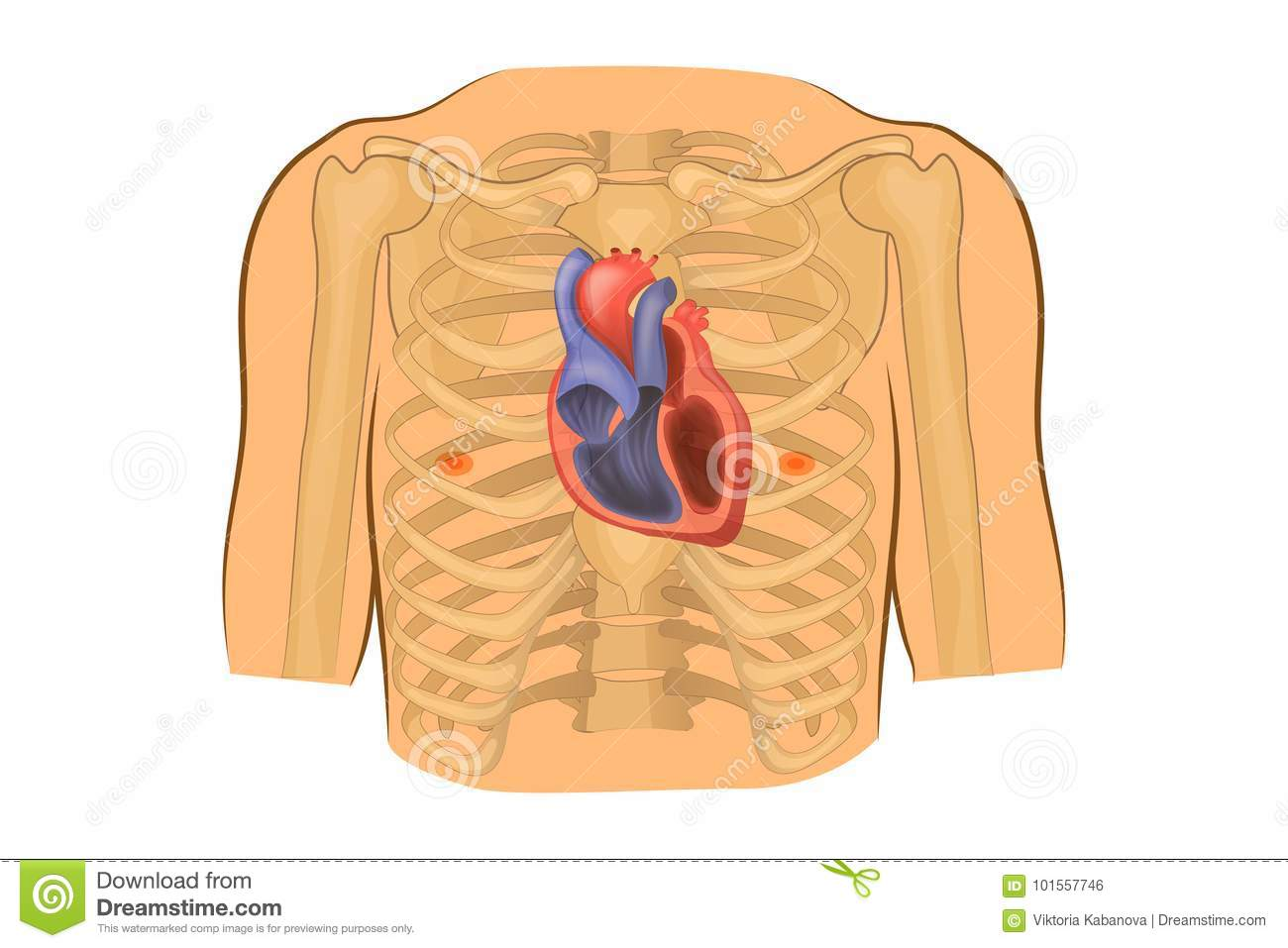Heart In The Chest Stock Vector Illustration Of Circulation 101557746