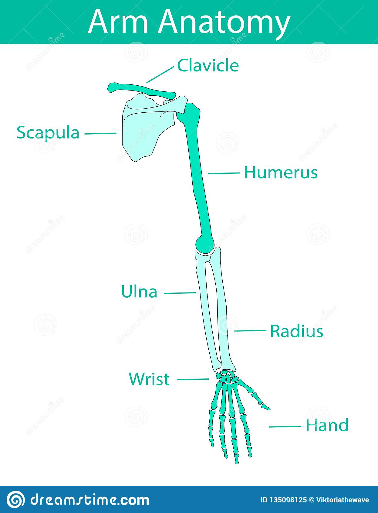 Anatomy Diagram Cartoon Vector