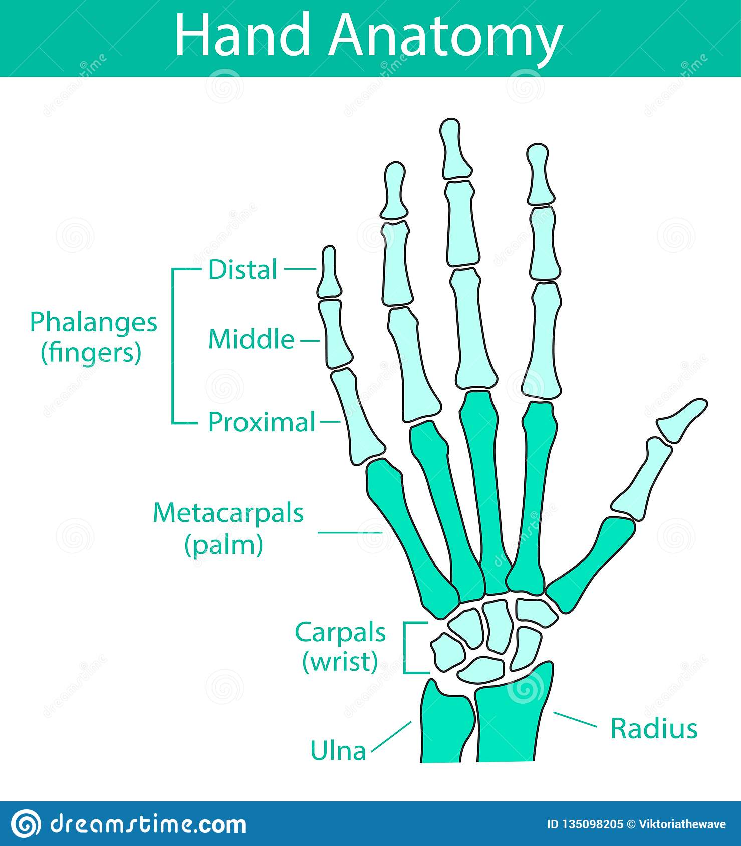 vector illustration of human hand skeletal anatomy