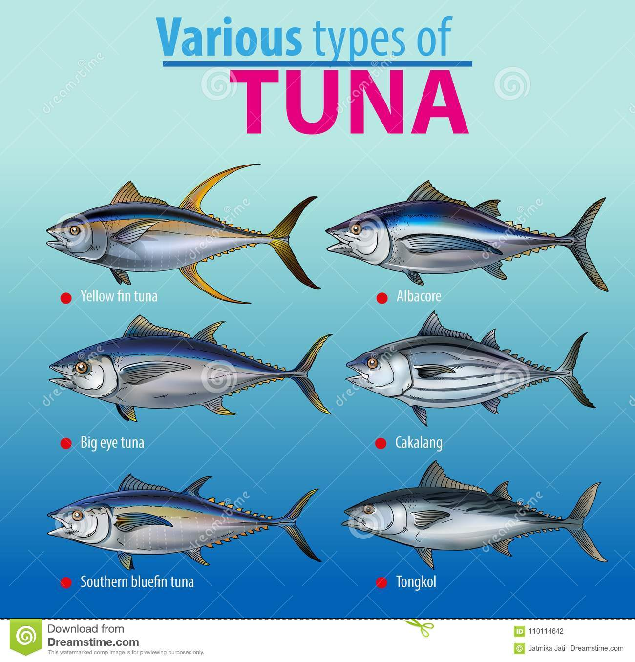 Infographic Various Type Of Tuna Stock Vector Illustration Of