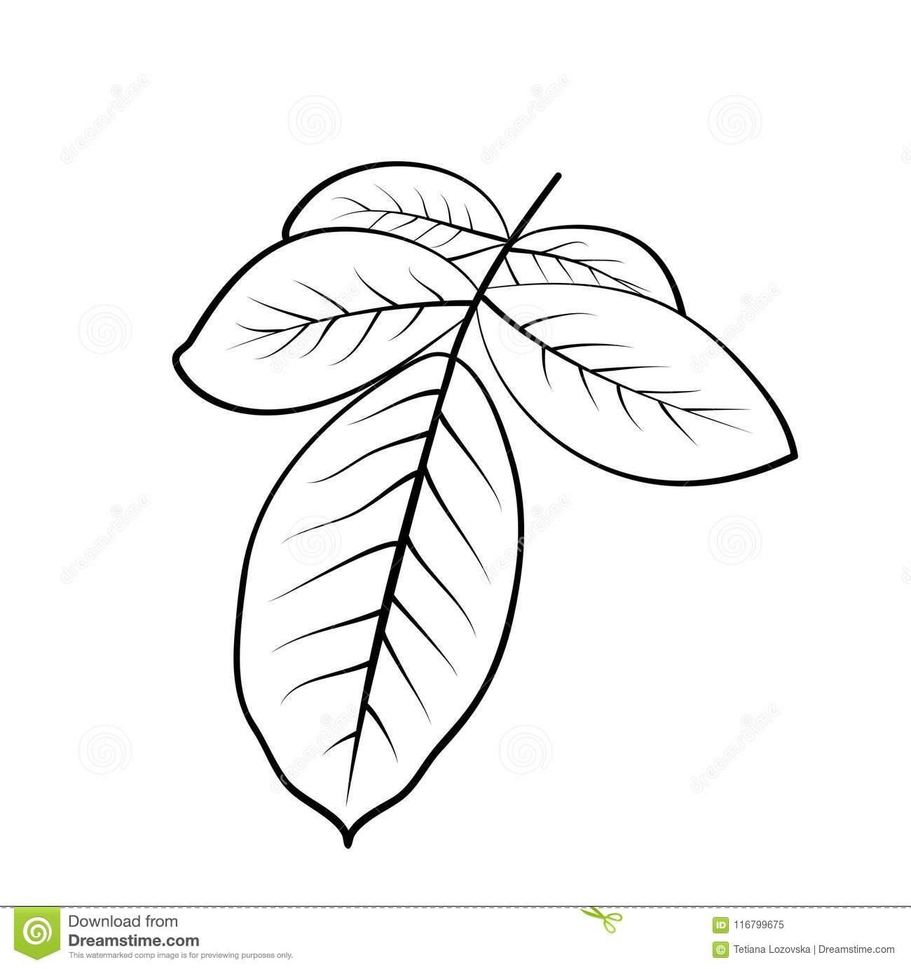 Vector Illustration Of Rose Leaves Stock Vector Illustration Of Black Painted 116799675
