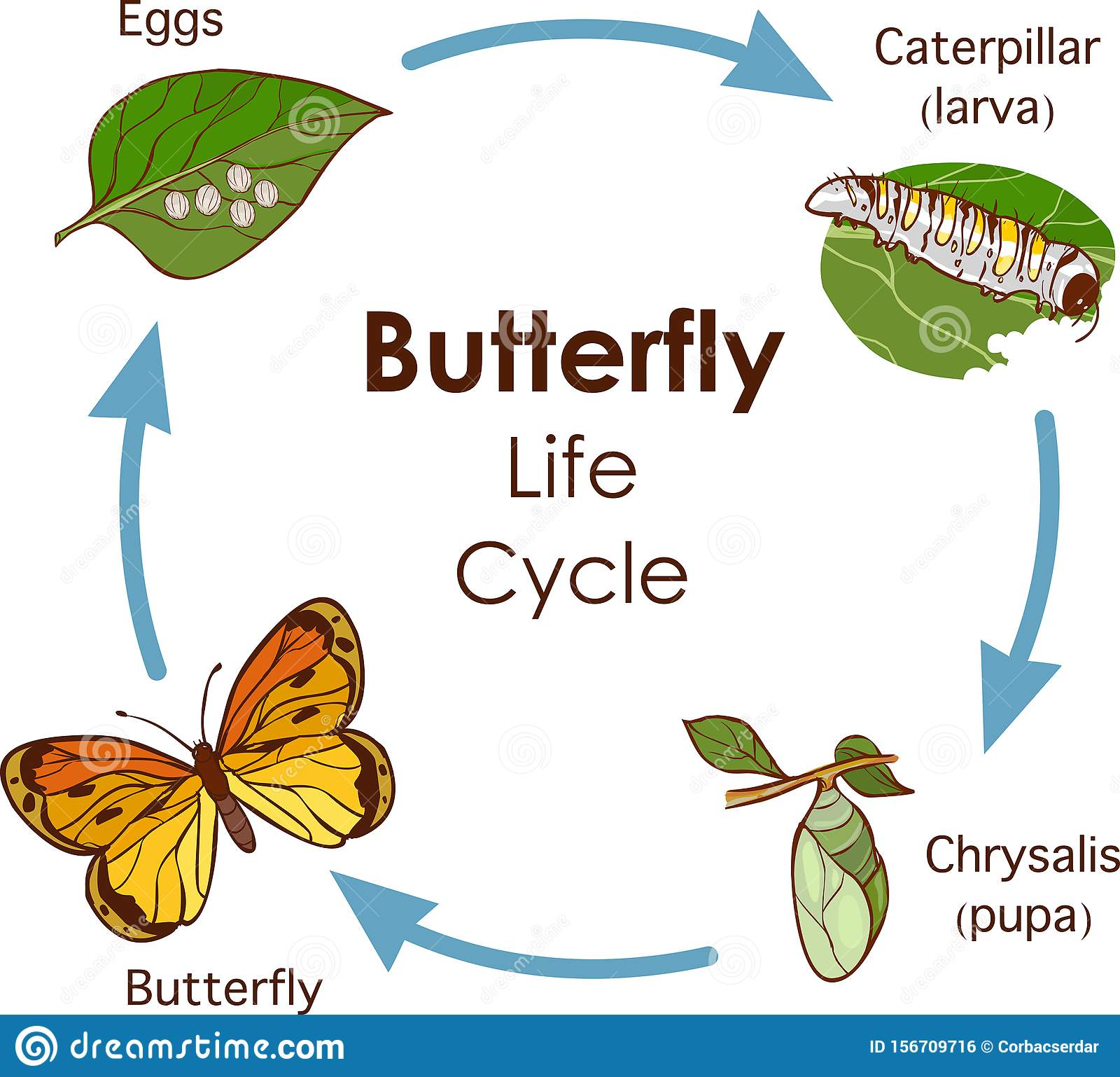 Life Cycle Of A Butterfly Diagram Stock Illustration Wiring Diagram