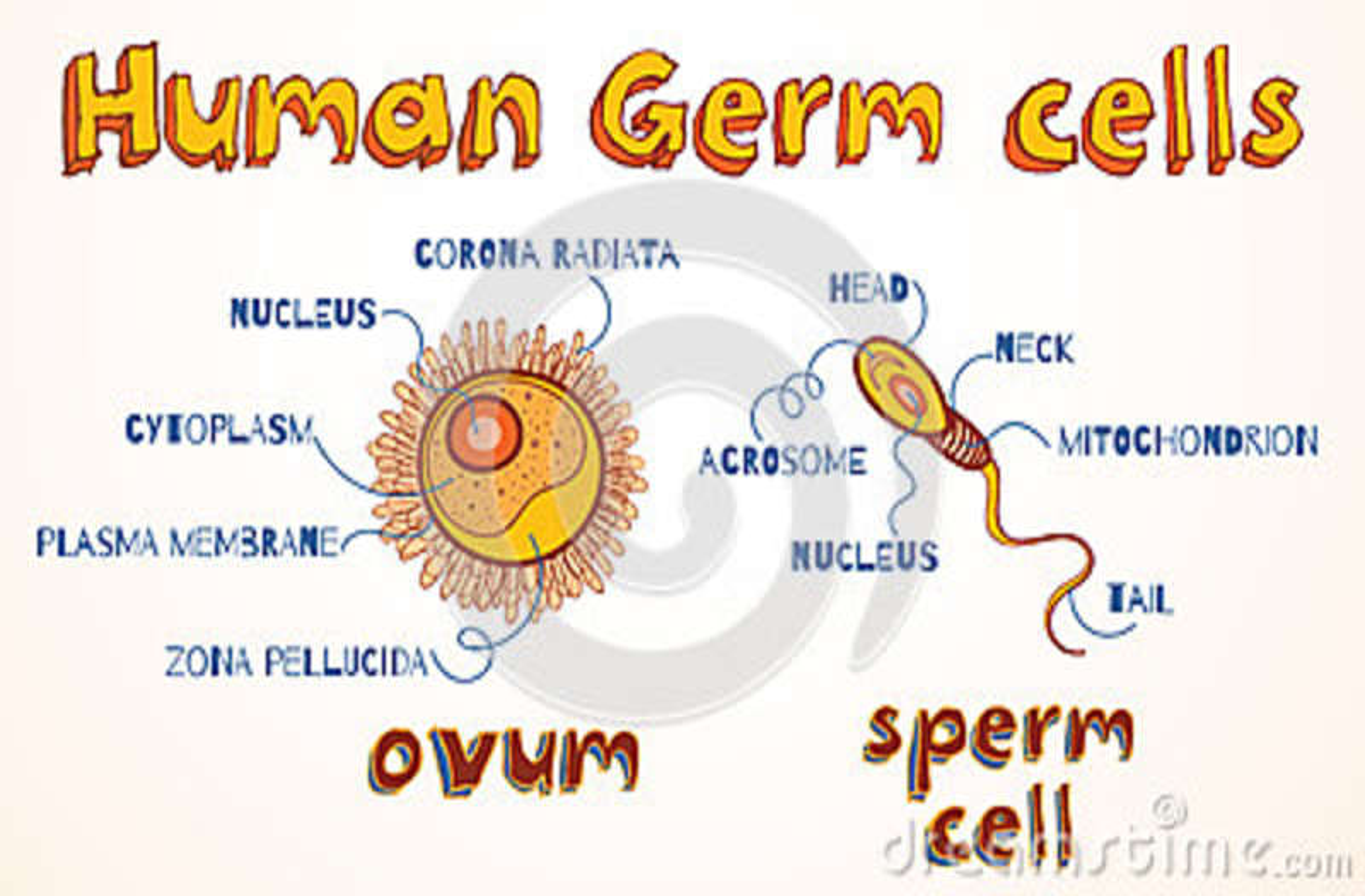 Egg nucleus soul sperm remarkable