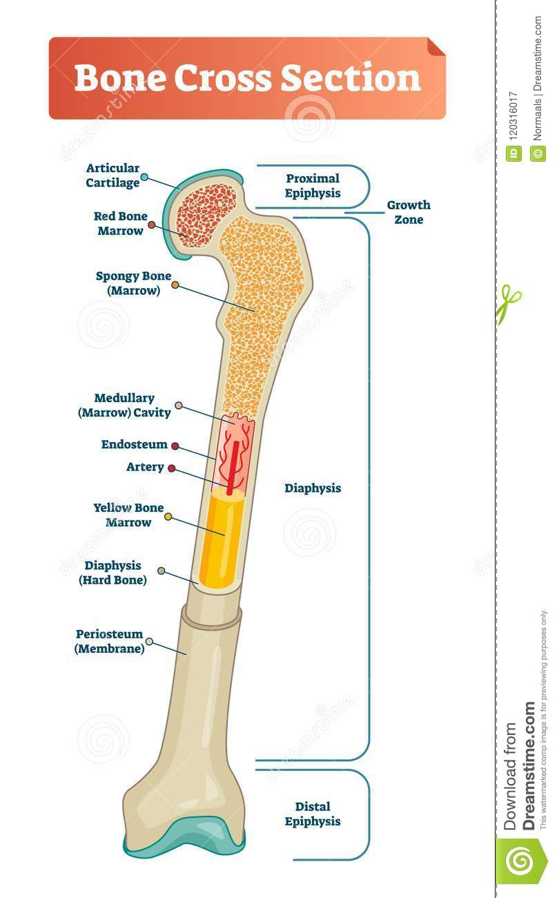 Vector Illustration Scheme Of Bone Cross Section Diagram With