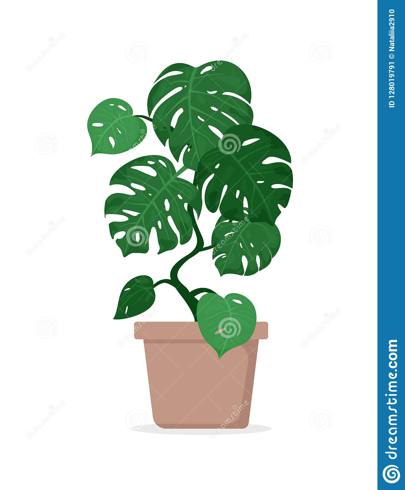 Vector Illustration Of Tropical Plant Monstera In Pot For ... on monstera philo cheesecake, monstera pertusum, monstera leaves, monstera direct sun, monstera sunny window, monstera thai constellation, monstera leaf browning,