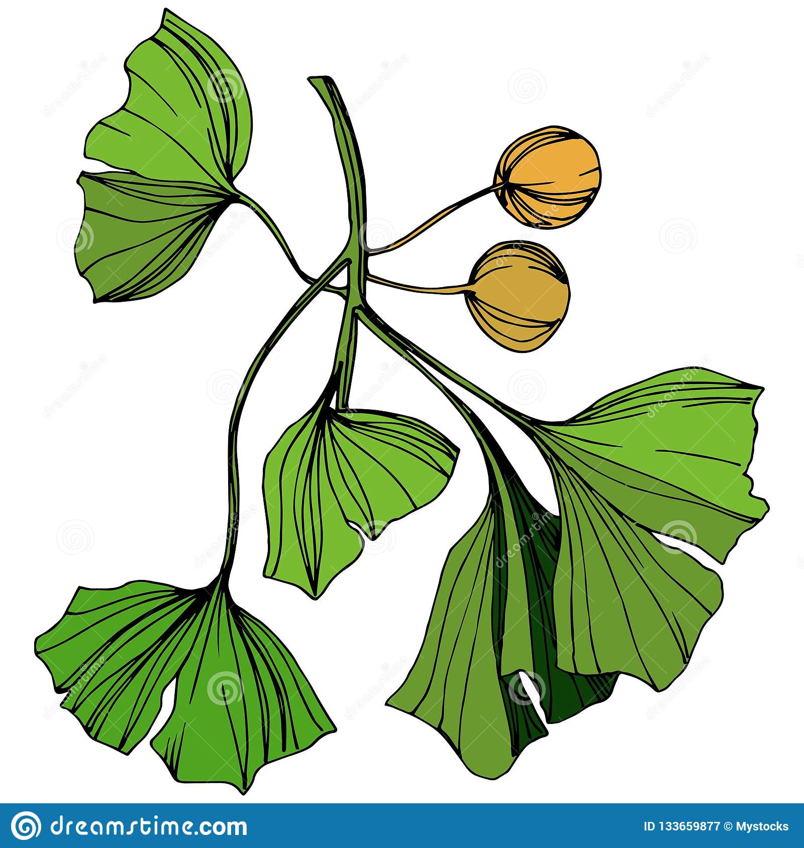 Vector Isolated Ginkgo Illustration Element Green Leaf Plant
