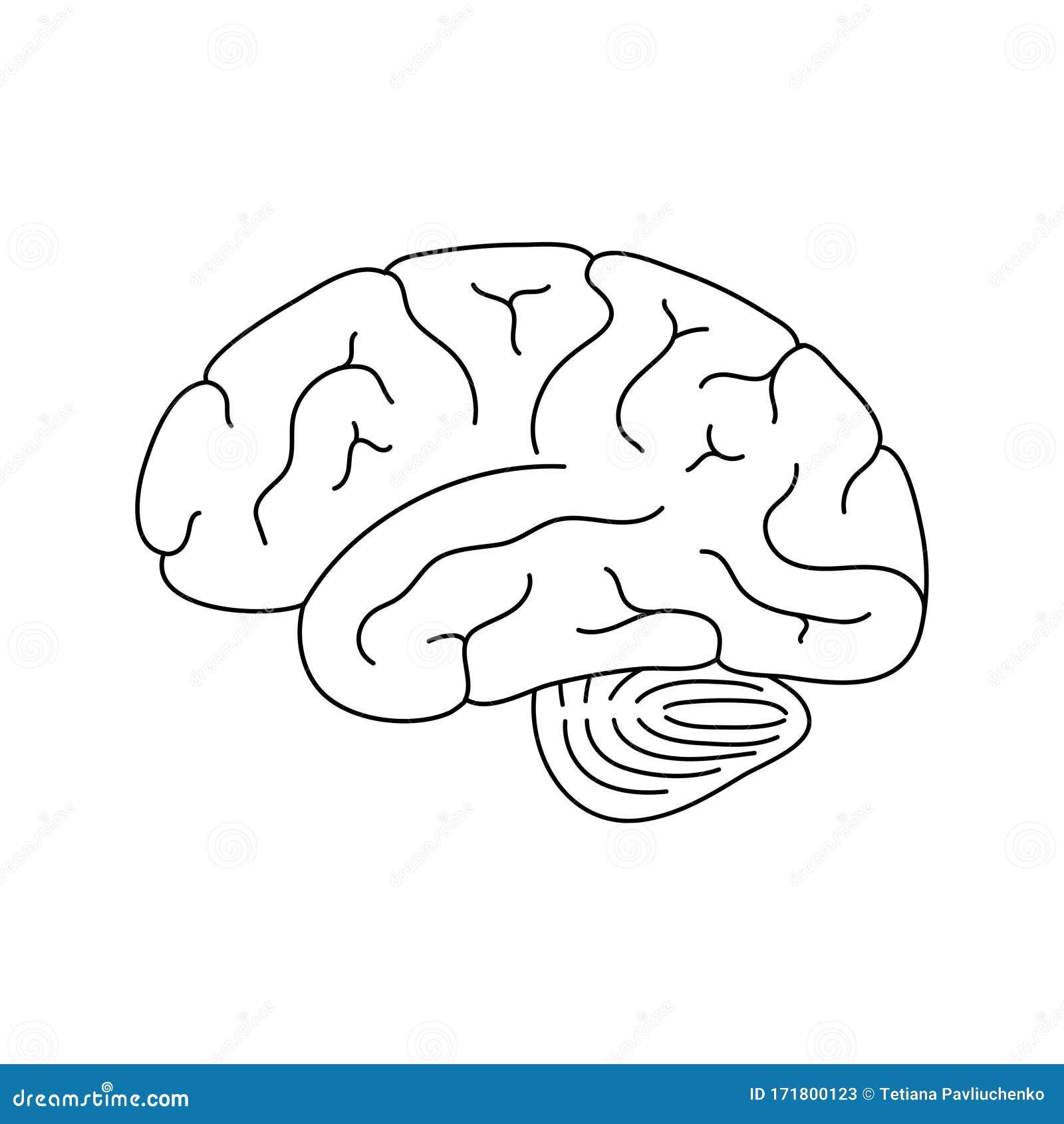 Structure And Anatomy Brain Cartoon Vector   CartoonDealer ...