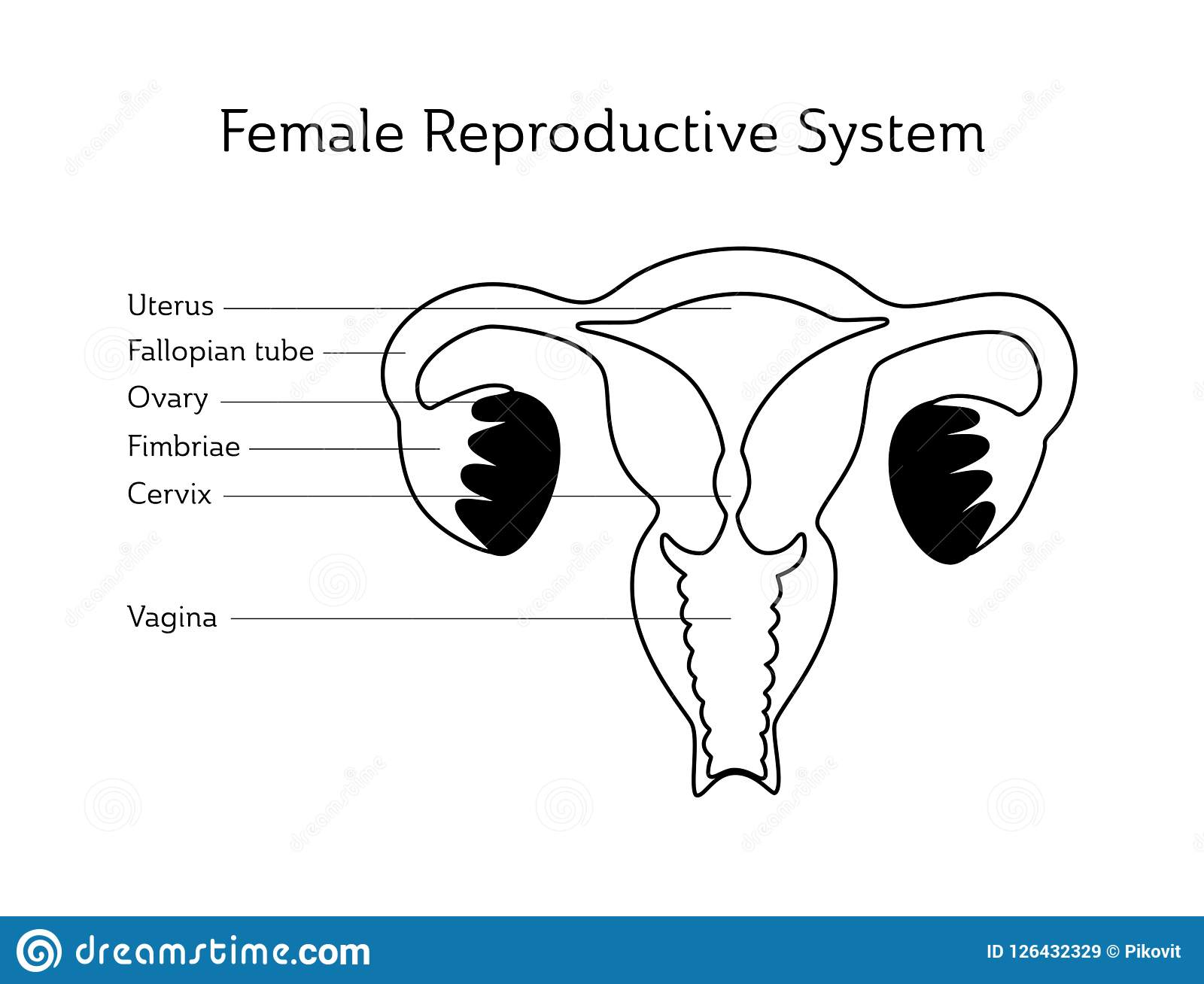 Vector Isolated Illustration Of Uterus Stock Vector - Illustration ...