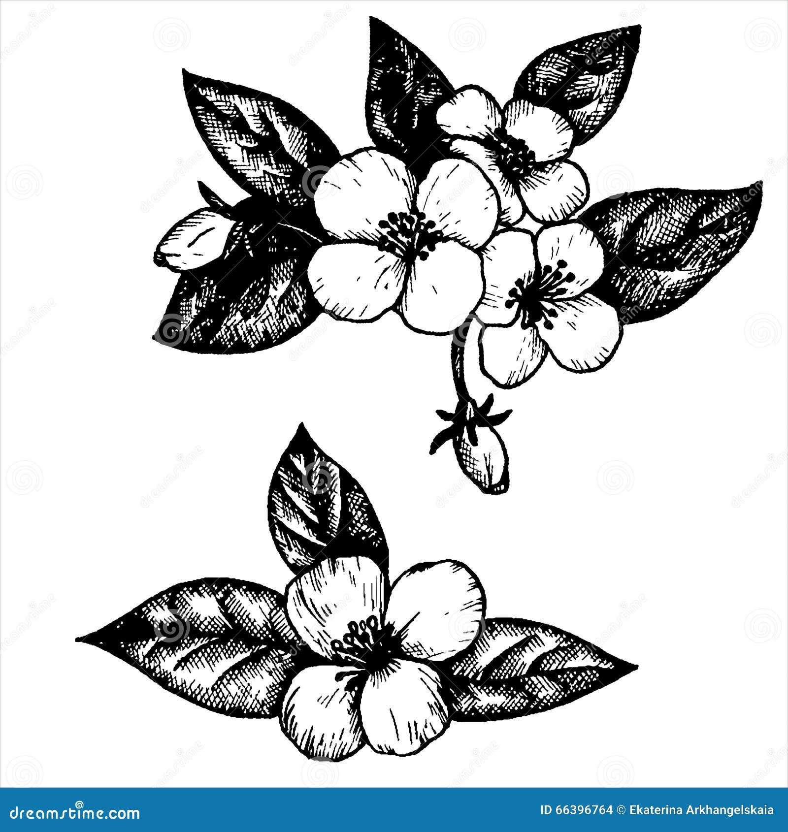 Line Drawing Of Jasmine Flower : Vector jasmine flowers illustration cartoondealer