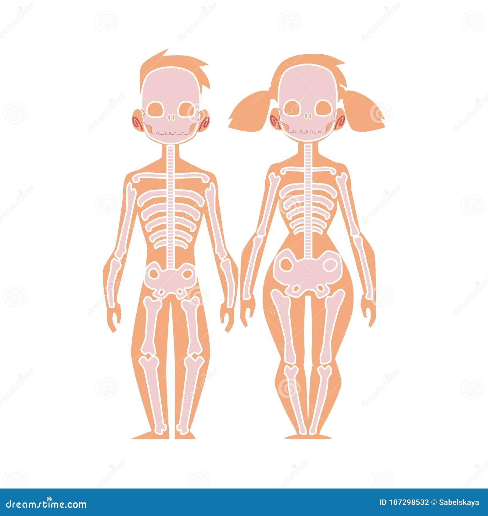 Vector la anatomía plana del cuerpo humano de la estructura, esqueleto