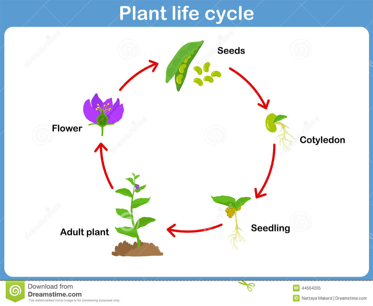 Pictures Of Lifecycle Of A Flower 4