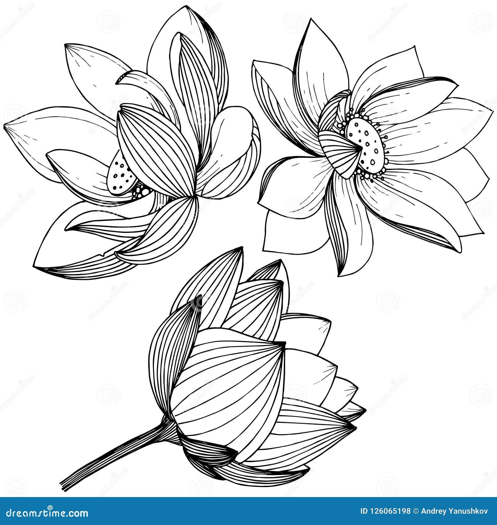 Vector Lotus Flower Floral Botanical Flower Isolated Illustration